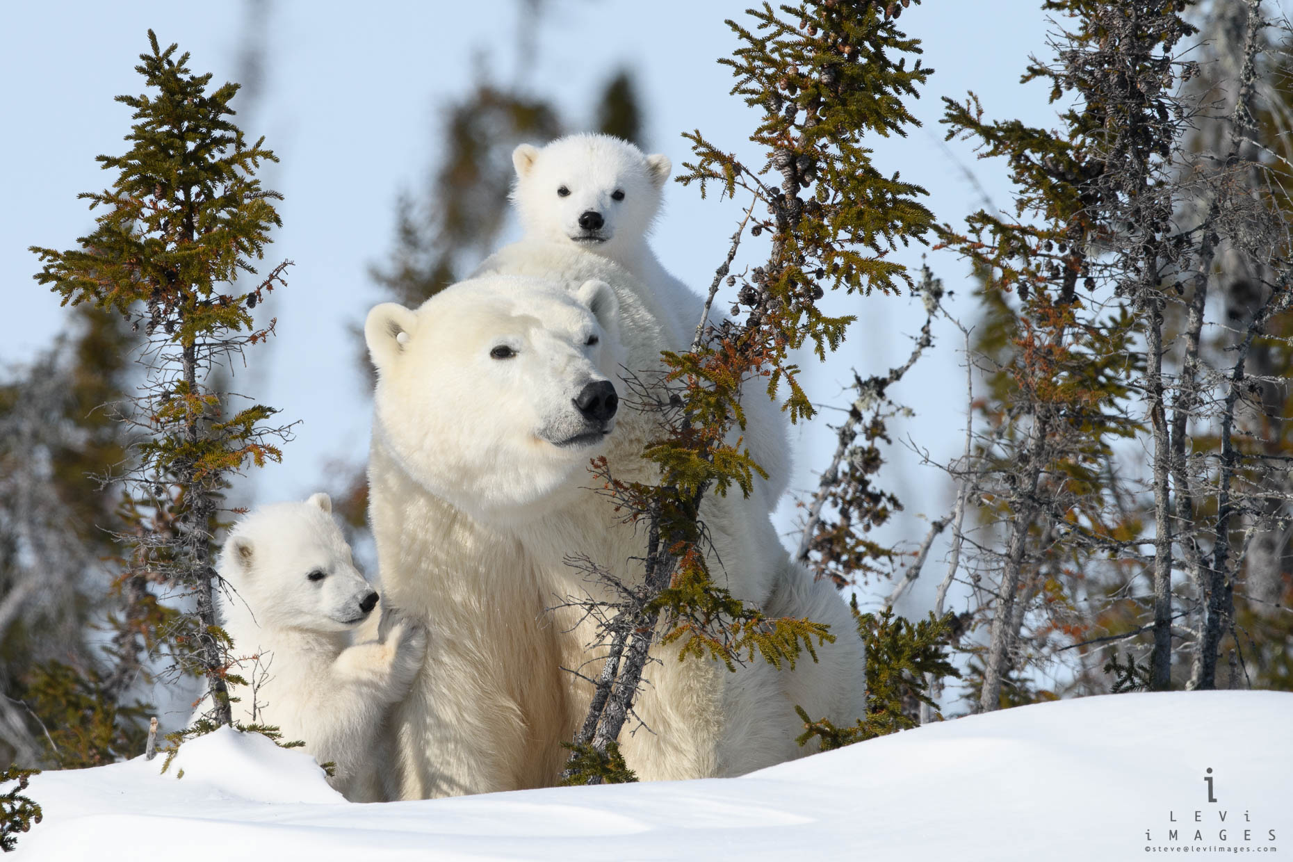 Polar bear (Ursus maritimus) and two cubs. Wapusk National Park, Manitoba, Canada