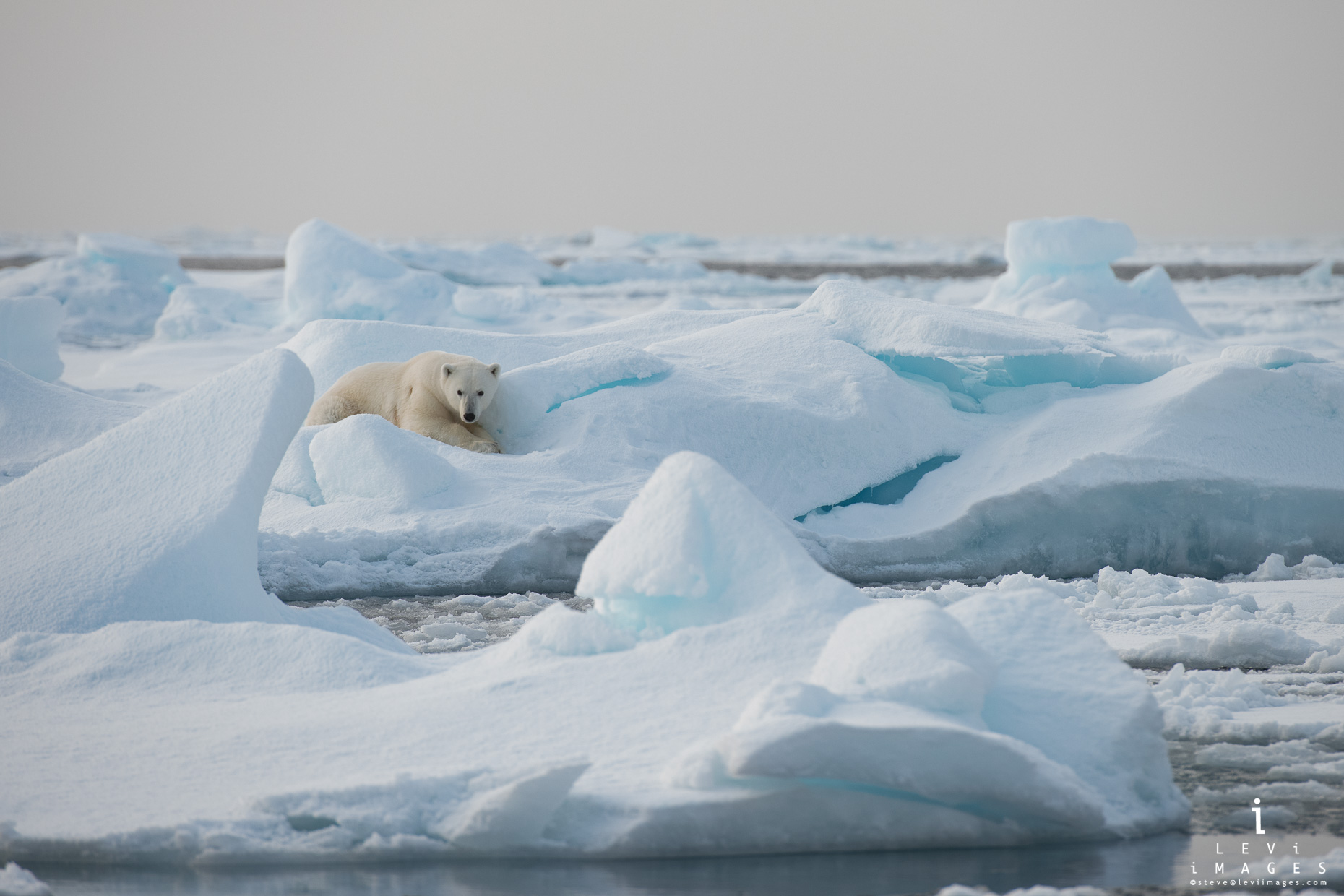 Polar bear (Ursus maritimus) rests on ice fragment. Svalbard, Norway