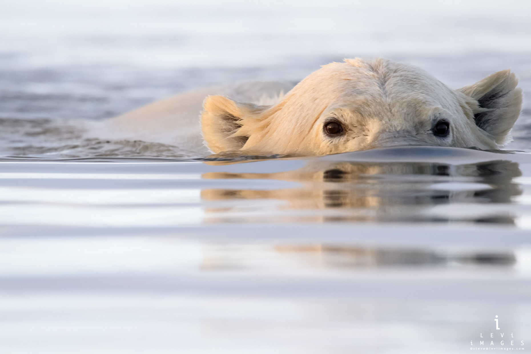 Polar bear (Ursus maritimus) swimming with eyes reflected Kaktovik, Alaska