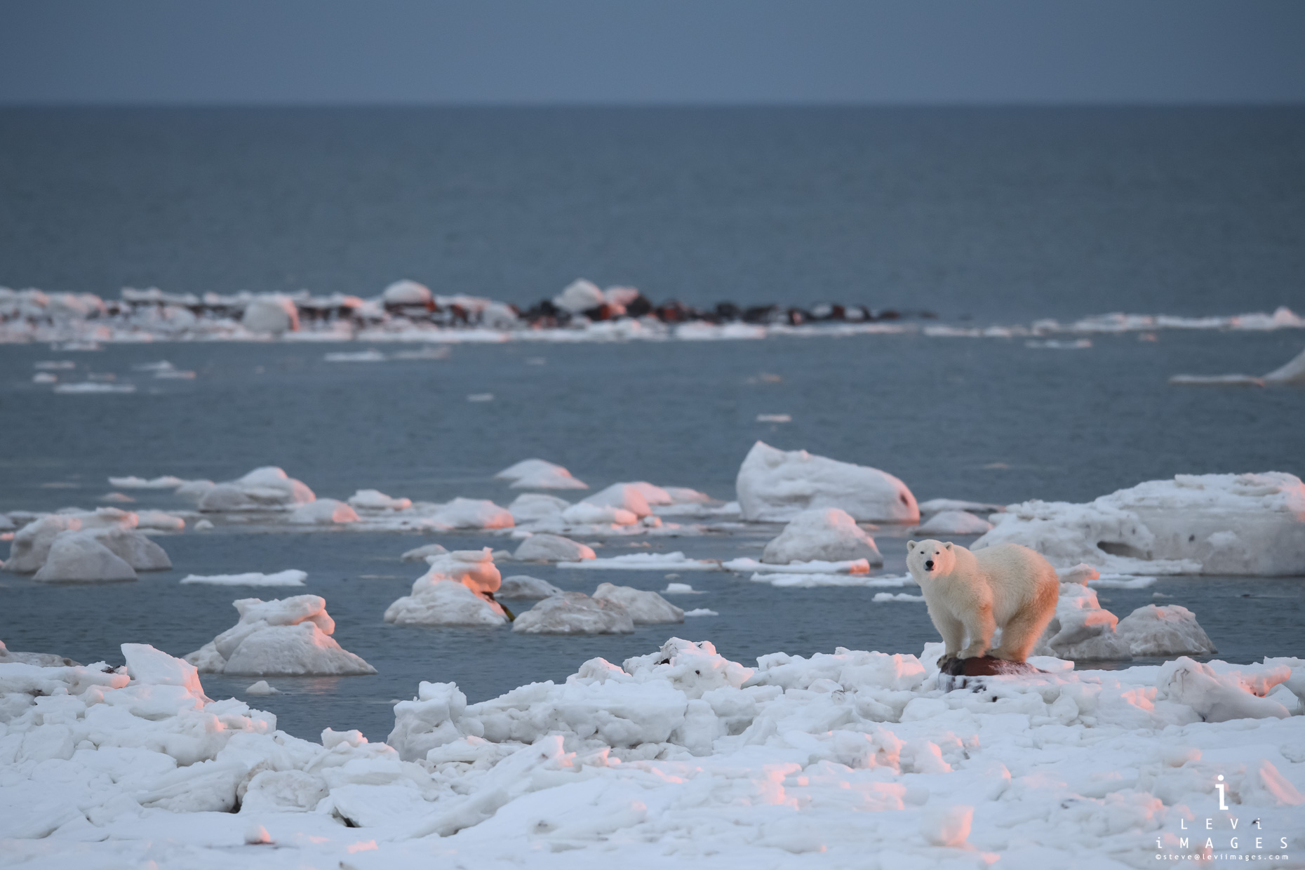 Polar bear (Ursus maritimus) at sunset waits at ice edge.  Hudson Bay. Manitoba, Canada