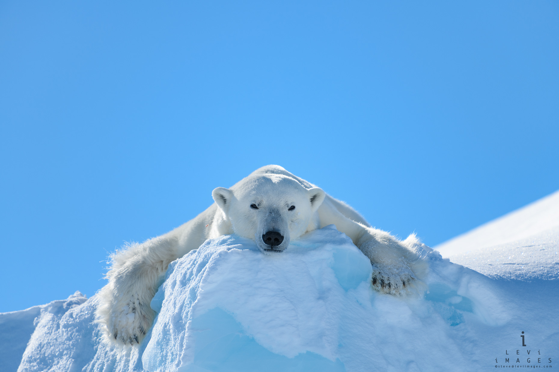 Polar bear (Ursus maritimus) lounging on the edge of an iceberg. Baffin Island, Nunavut, Canada