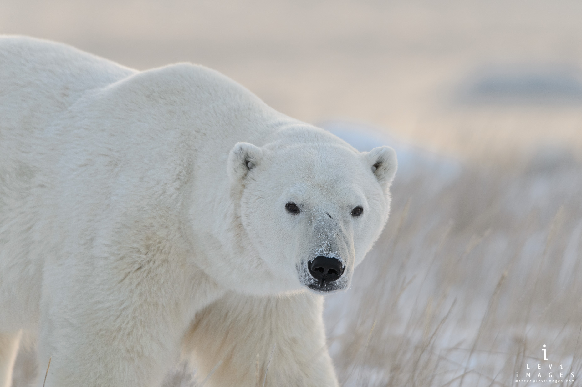 Polar bear (Ursus maritimus) in morning light. Manitoba, Canada