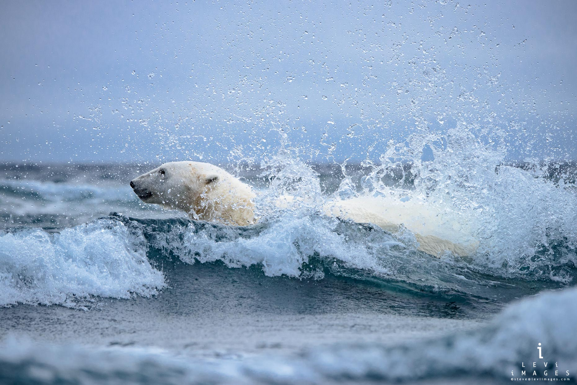 Polar bear (Ursus maritimus) in Surf. Svalbard, Norway