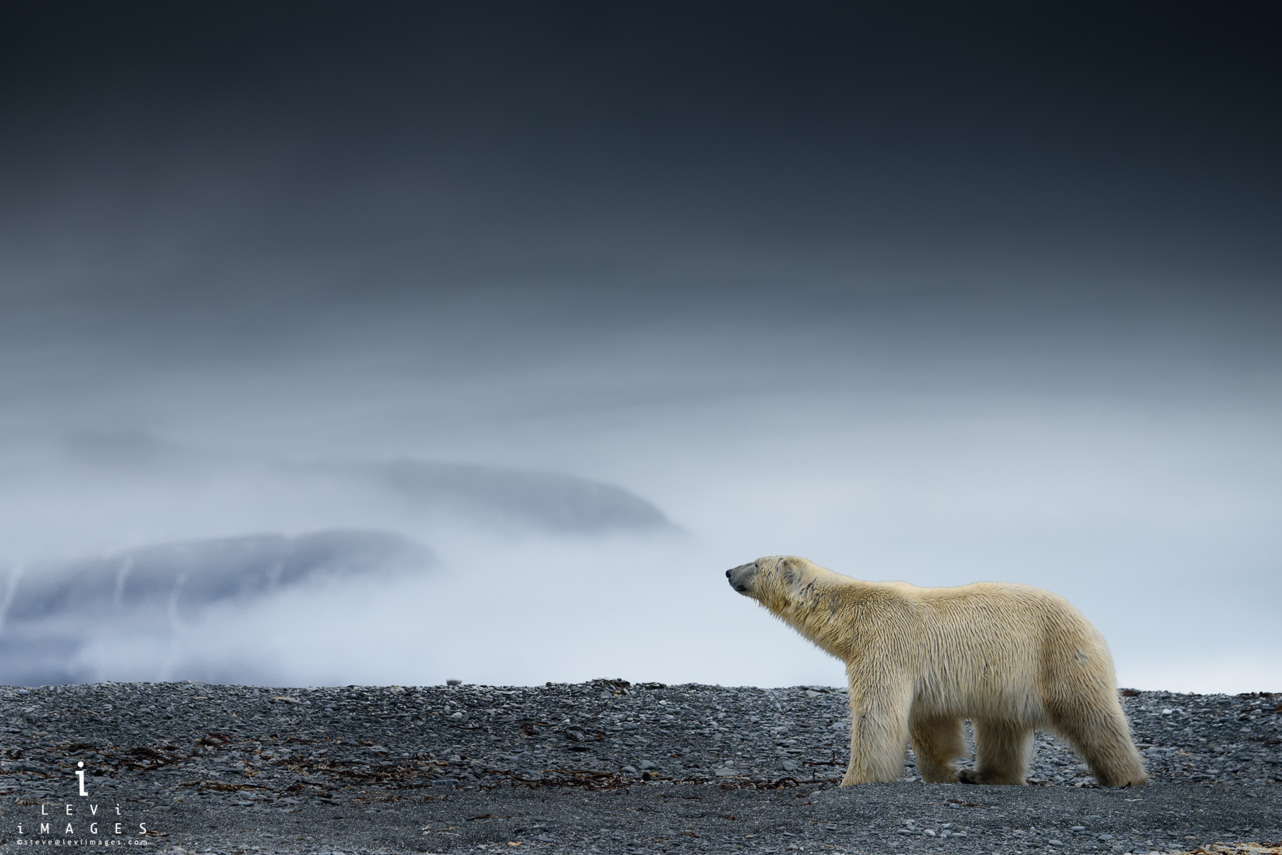 Polar bear (Ursus maritimus) on land with mountains obscured by fog. Svalbard, Norway