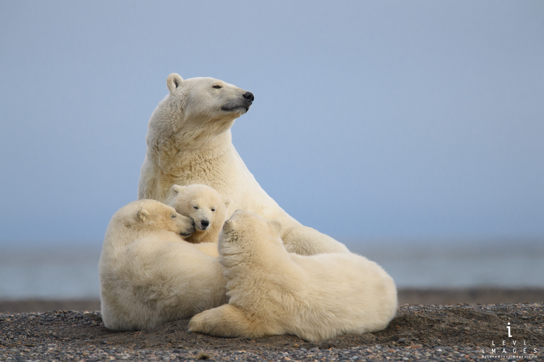 Polar bear (Ursus maritimus) mother with three cubs. Kaktovik, Alaska