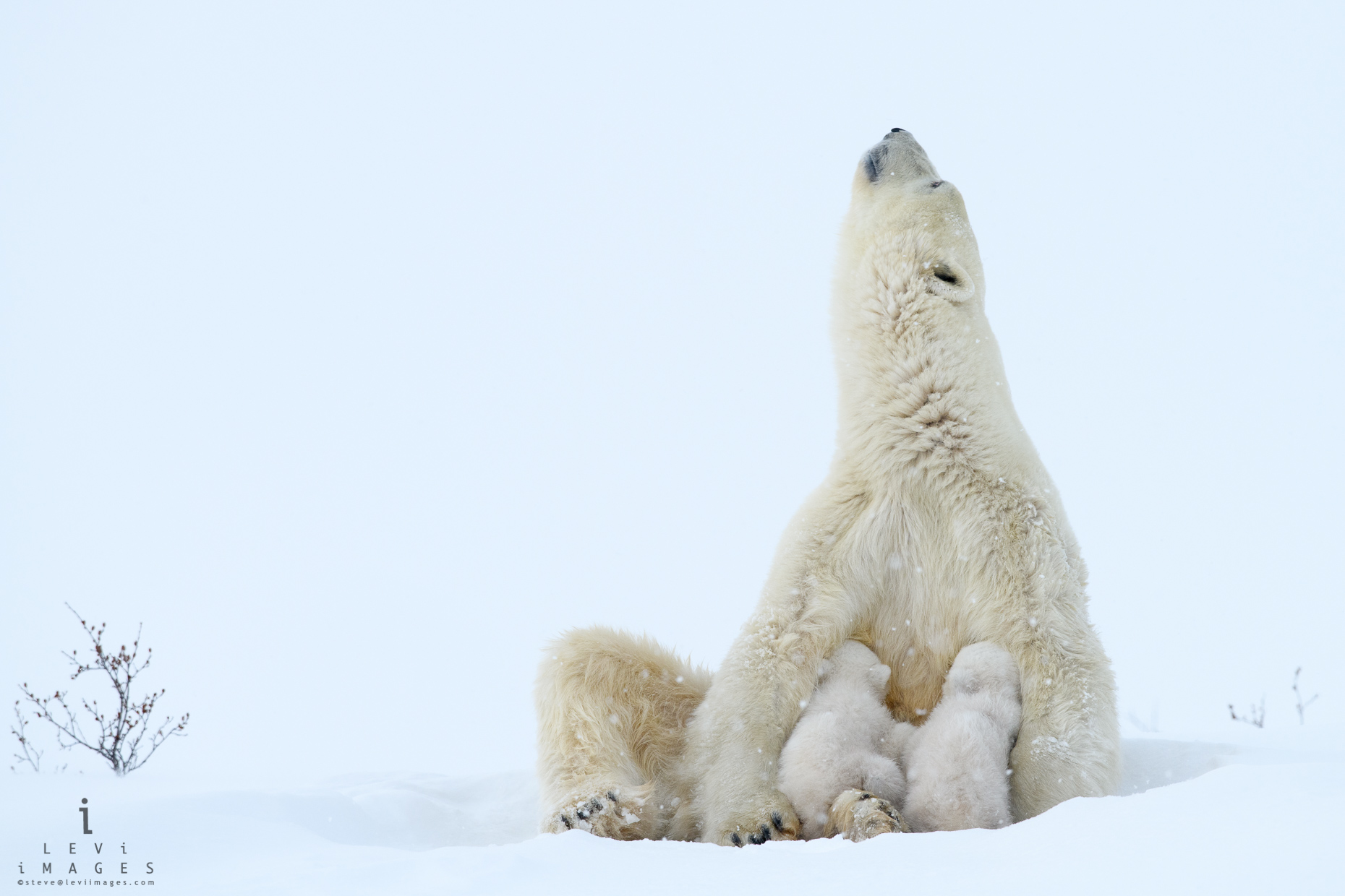Polar bear (Ursus maritimus) nursing facing the sky. Wapusk National Park, Manitoba, Canada
