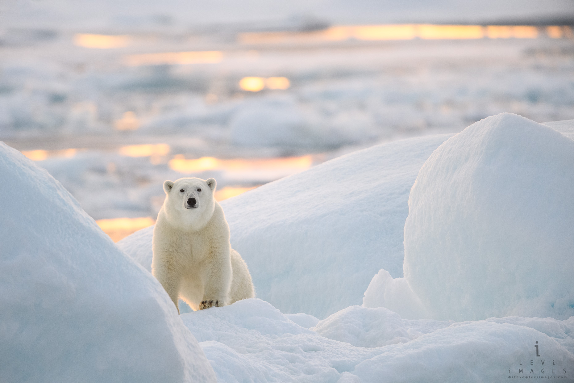 Polar Bear on Ice at First Light