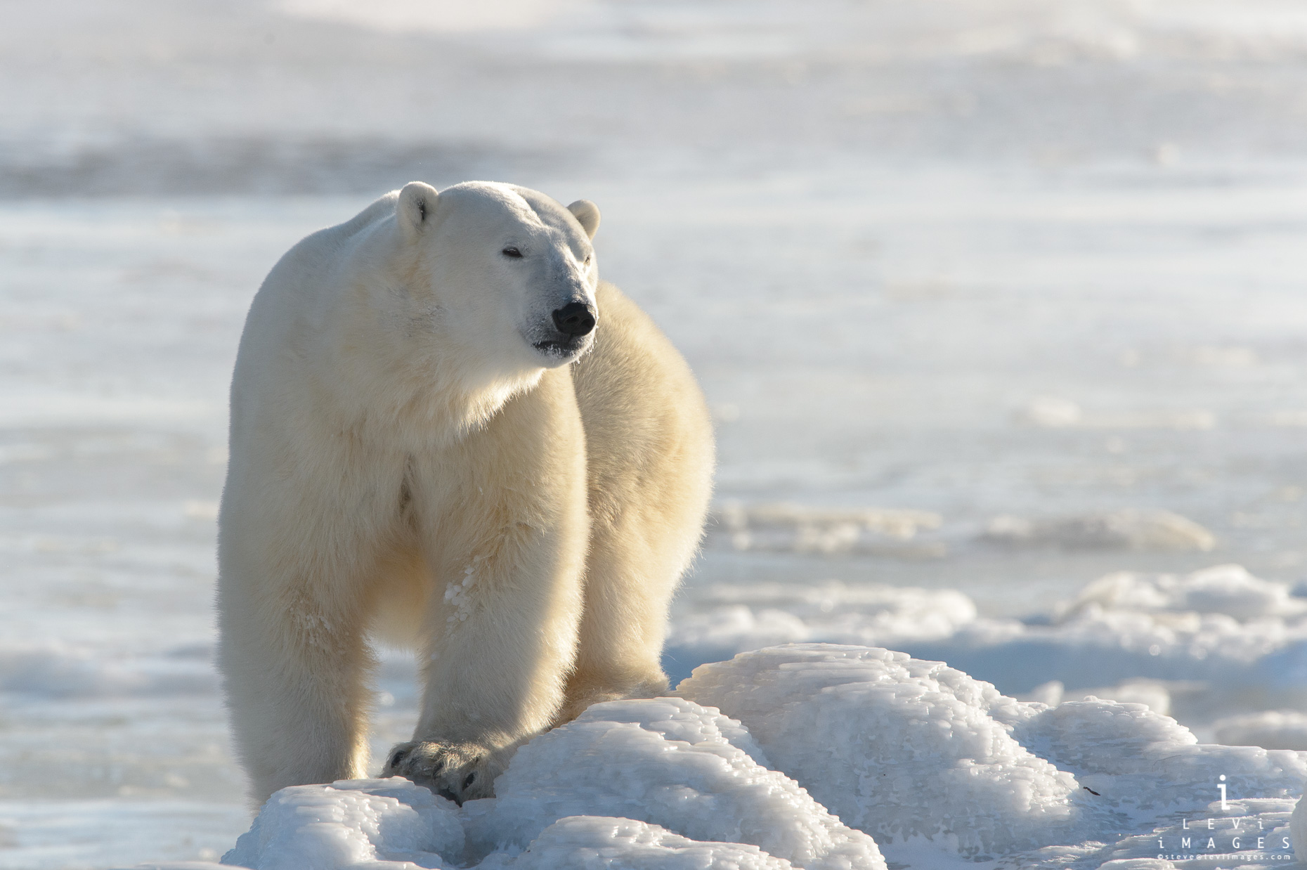Polar bear (Ursus maritimus) on ice covered rocks. Hudson Bay, Manitoba, Canada