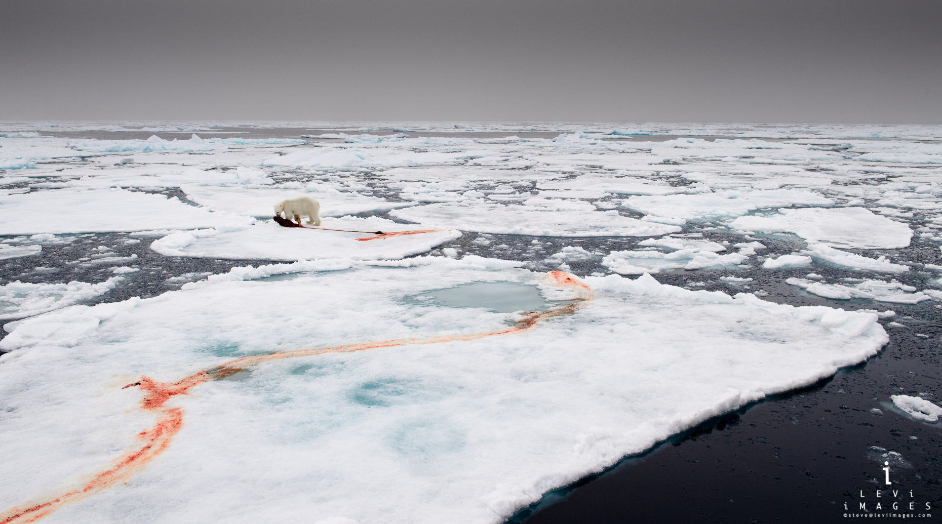 Polar bear (Ursus maritimus) with seal kill on pack ice. Svalbard, Norway