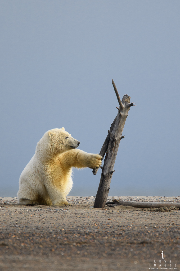 Young polar bear (Ursus maritimus) plays with dead tree while waiting for sea ice. Kaktovik, Alaska