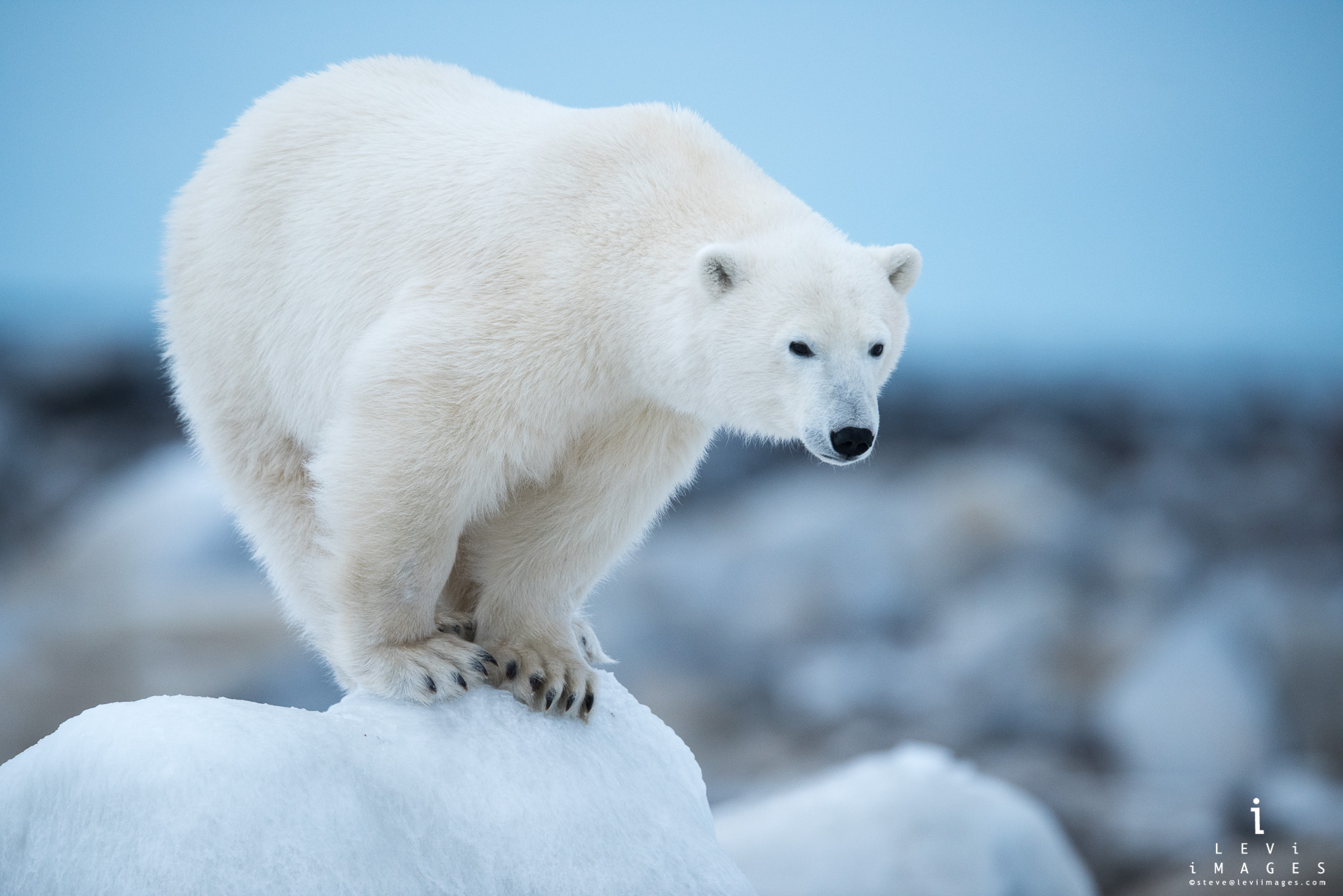Polar bear (Ursus maritimus) balanced on ice-covered rocks Hudson Bay Canada