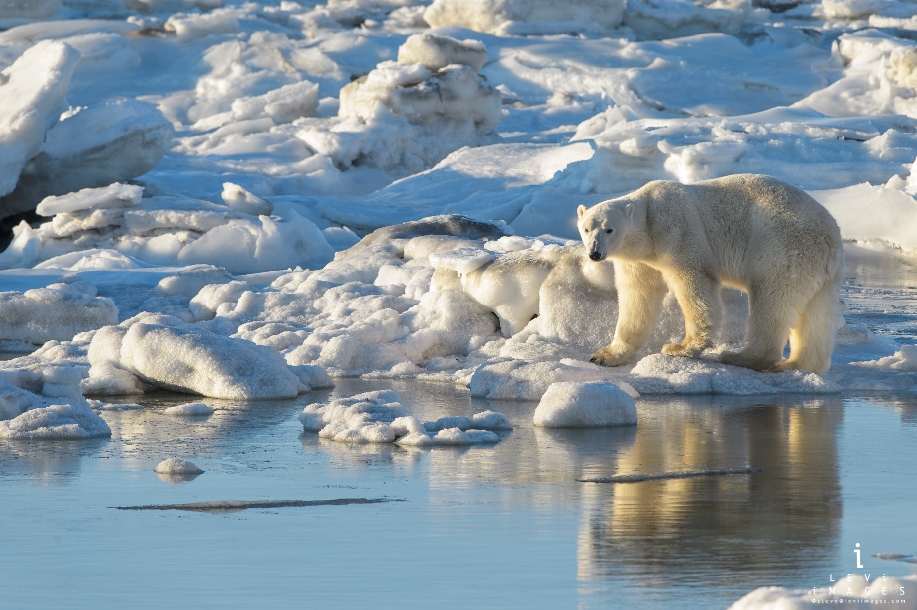 Polar bear (Ursus maritimus) reflected in Hudson bay at high tide. Manitoba, Canada