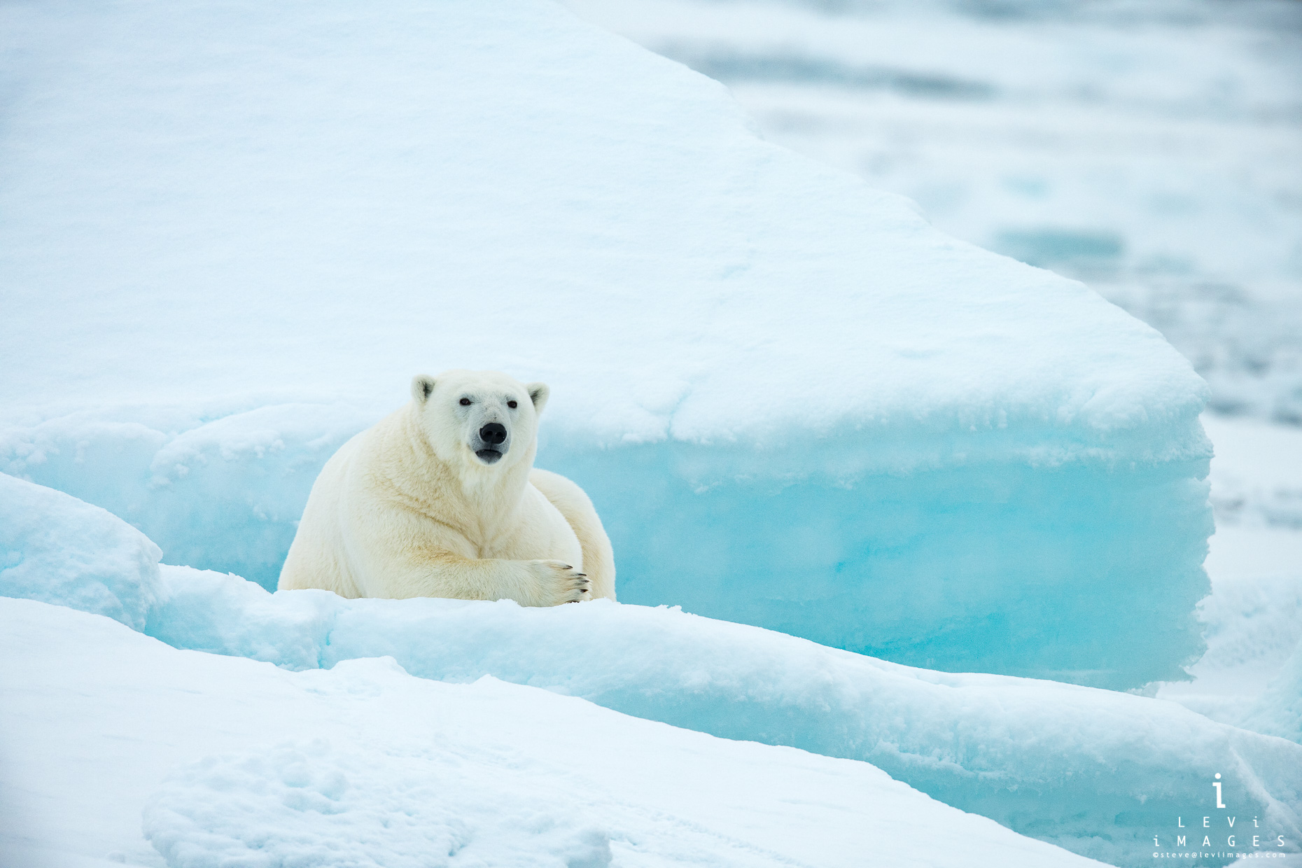 Polar bear (Ursus maritimus) resting on blue ice. Svalbard, Norway
