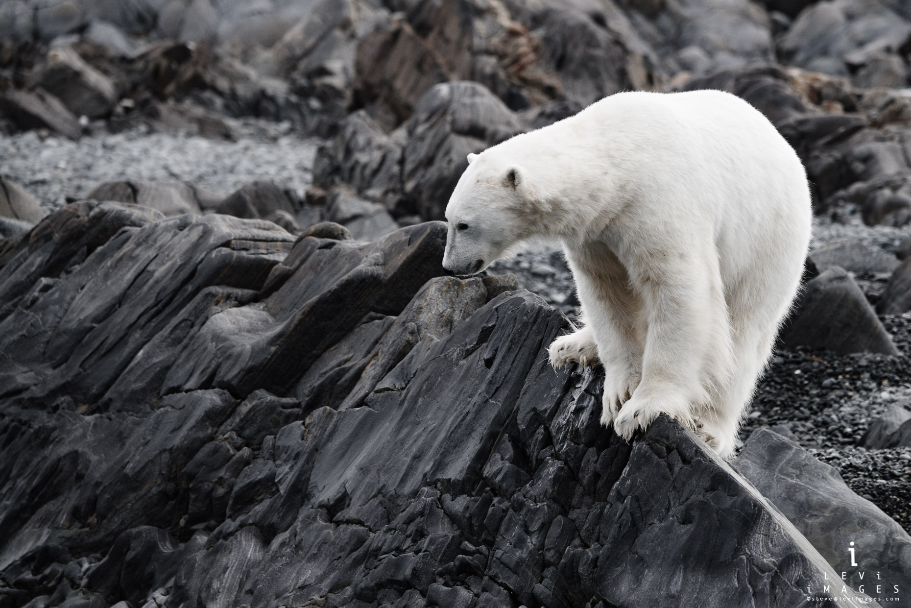 Polar bear (Ursus maritimus) on rock edge. Svalbard, Norway