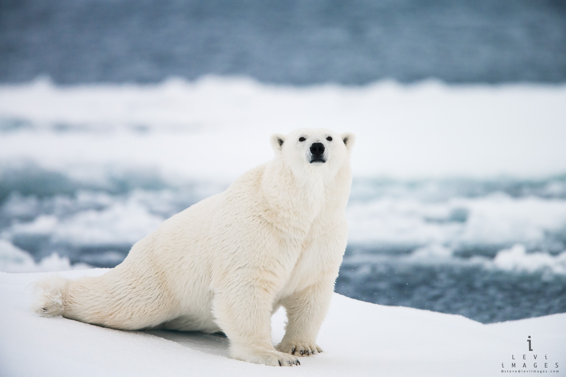 Polar bear (Ursus maritimus) in stretch pose. Svalbard, Norway