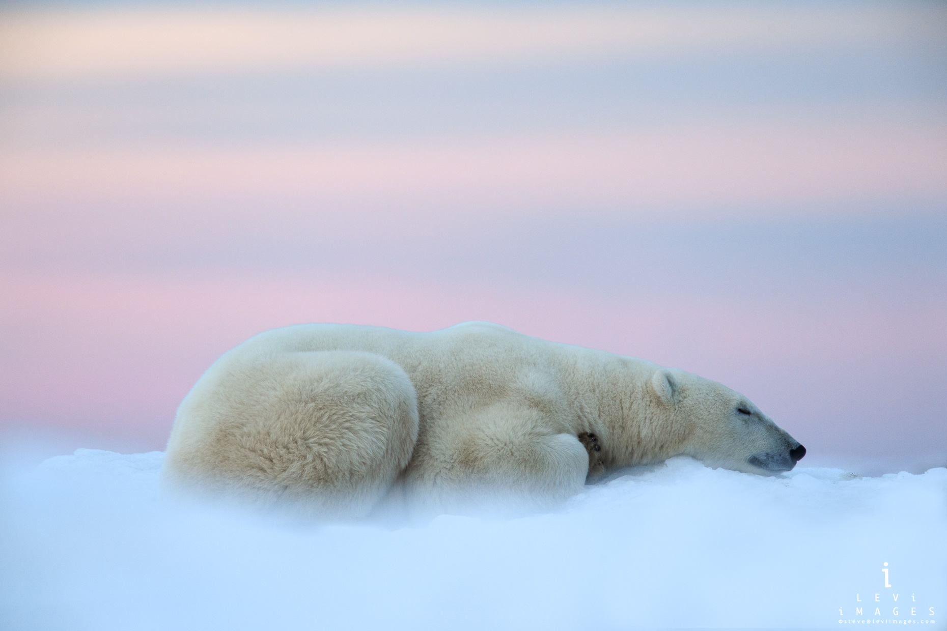 A dreamy Polar bear (Ursus maritimus) sleeps on snow in beautiful pink light. Hudson Bay, Manitoba, Canada