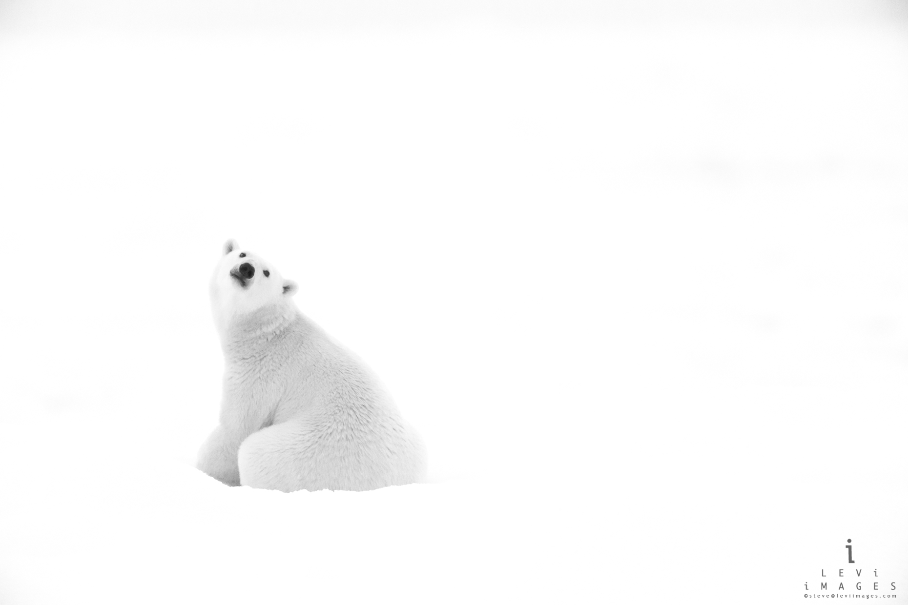 Polar bear (Ursus maritimus) looks back in black-and-white. Svalbard, Norway