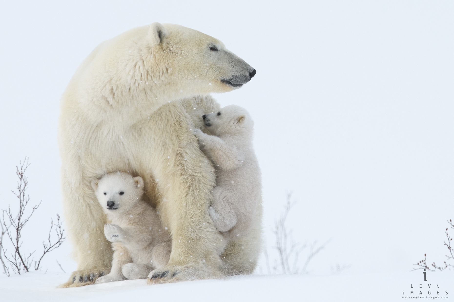Polar bear (Ursus maritimus) cubs with mom – climbing and waving. Wapusk National Park, Manitoba, Canada
