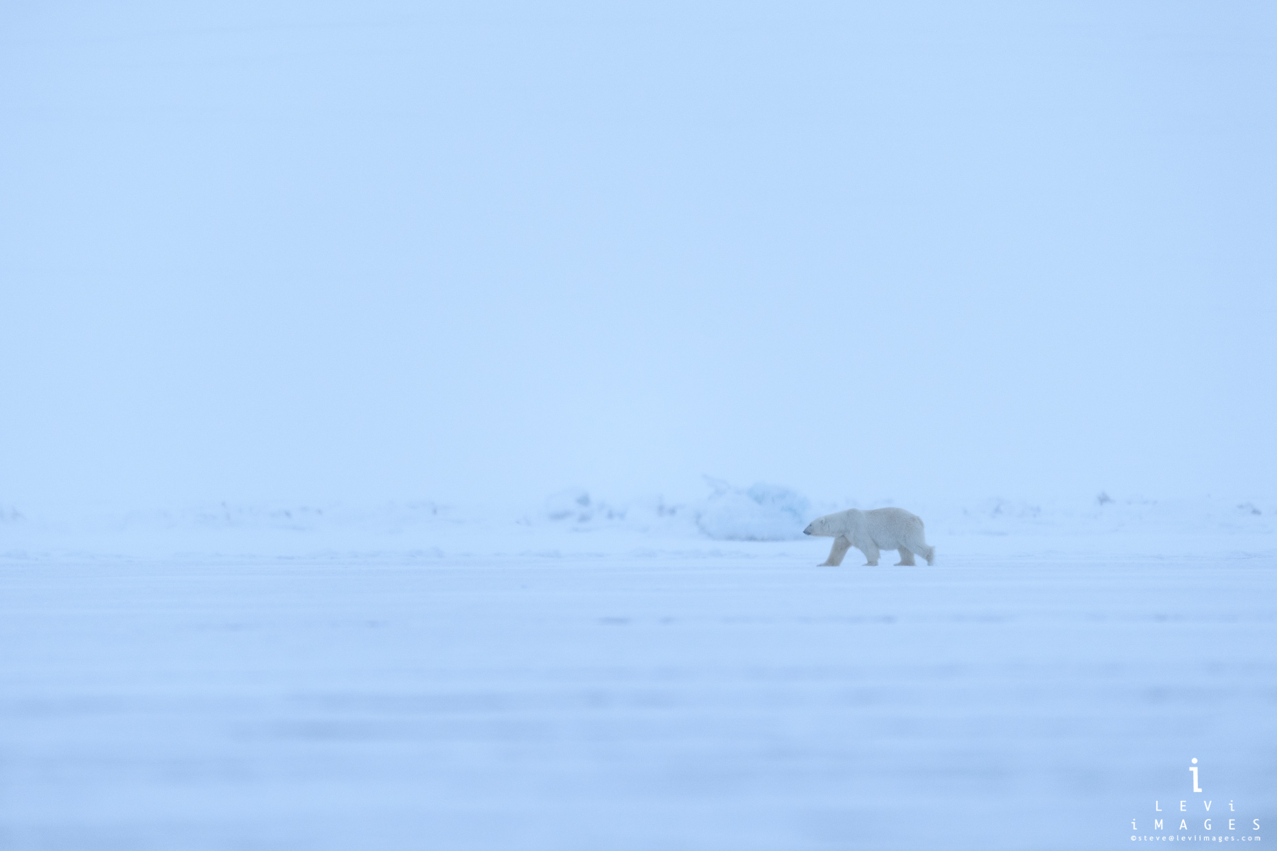 Polar bear crossing wind-swept ice. Svalbard, Norway
