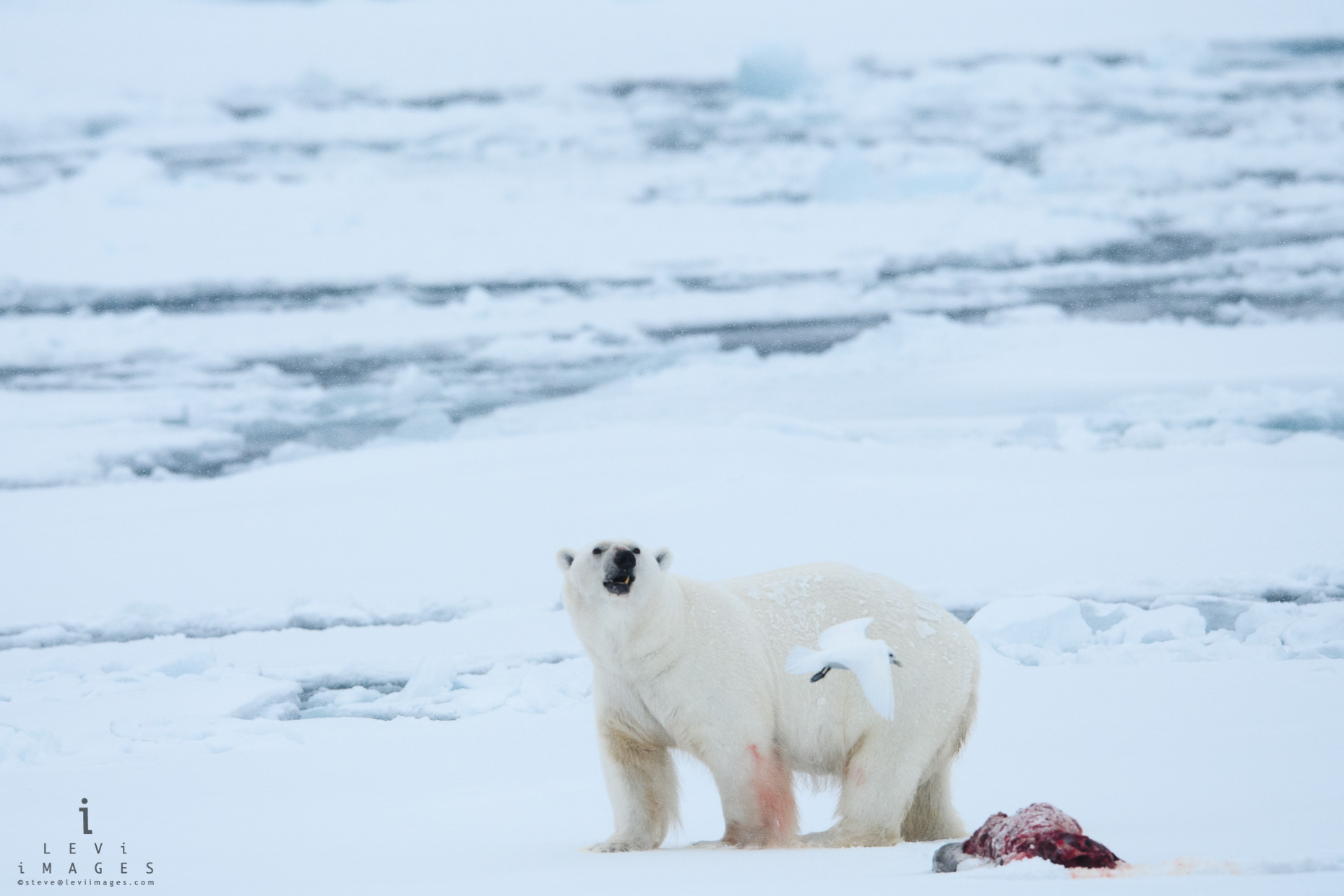 Polar bear (Ursus maritimus), bird and seal kill. Svalbard, Norway