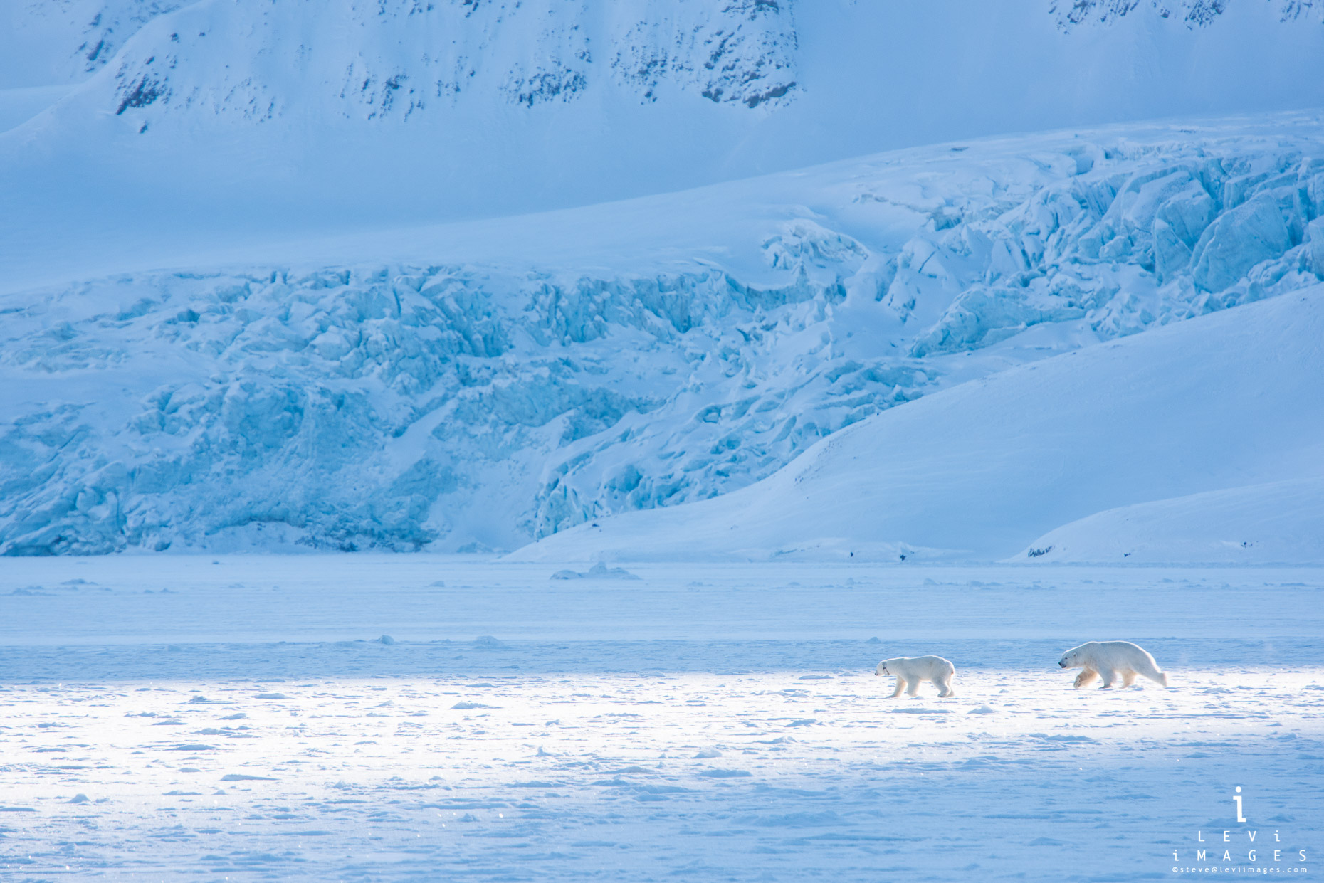 Polar bear (Ursus maritimus) chases mate in front of snow-covered glacier. Svalbard, Norway
