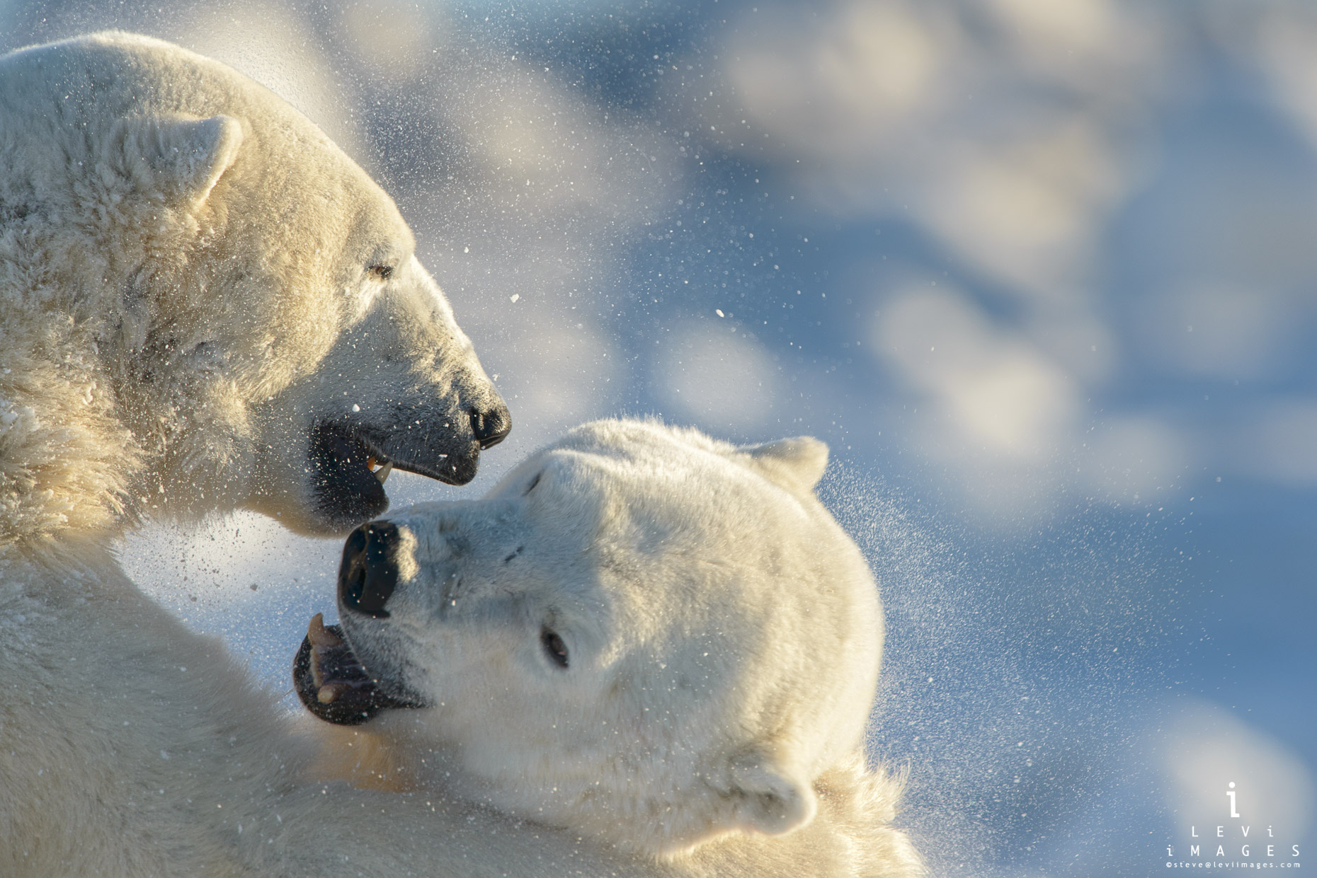 Polar bears (Ursus maritimus) wrestling close-up. Manitoba, Canada