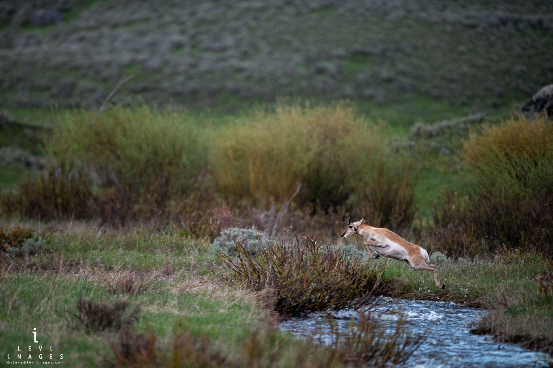 Pronghorn (Antilocapra americana) sheep leaping across stream. Yellowstone National Park, Wyoming