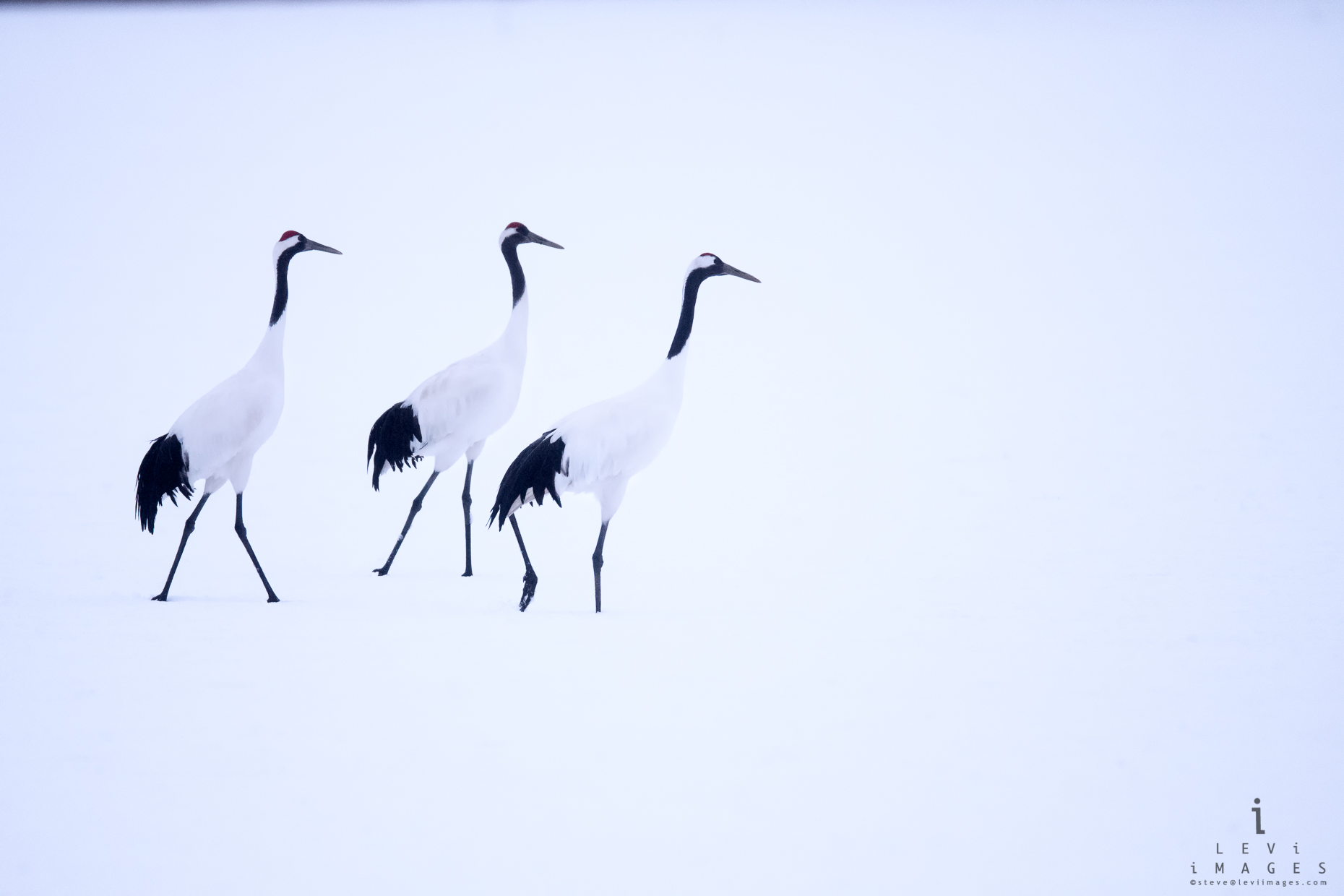 Three Hokkaido Red-crowned Crane (Grus japonensis). Japan