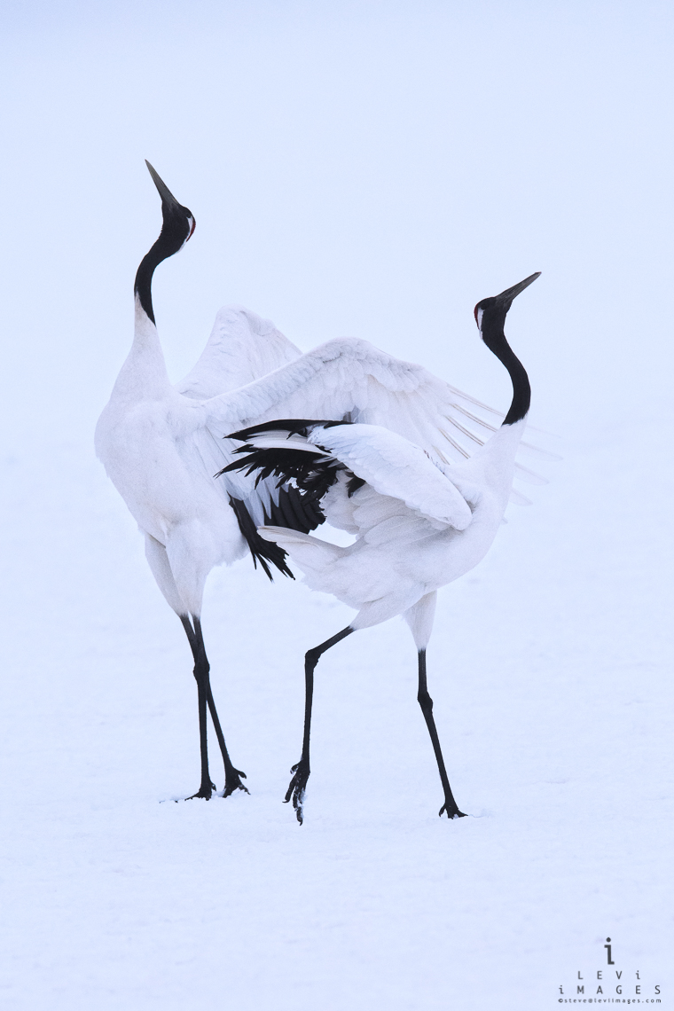 Hokkaido Red-crowned Crane (Grus japonensis)  mating ritual – vertical. Japan