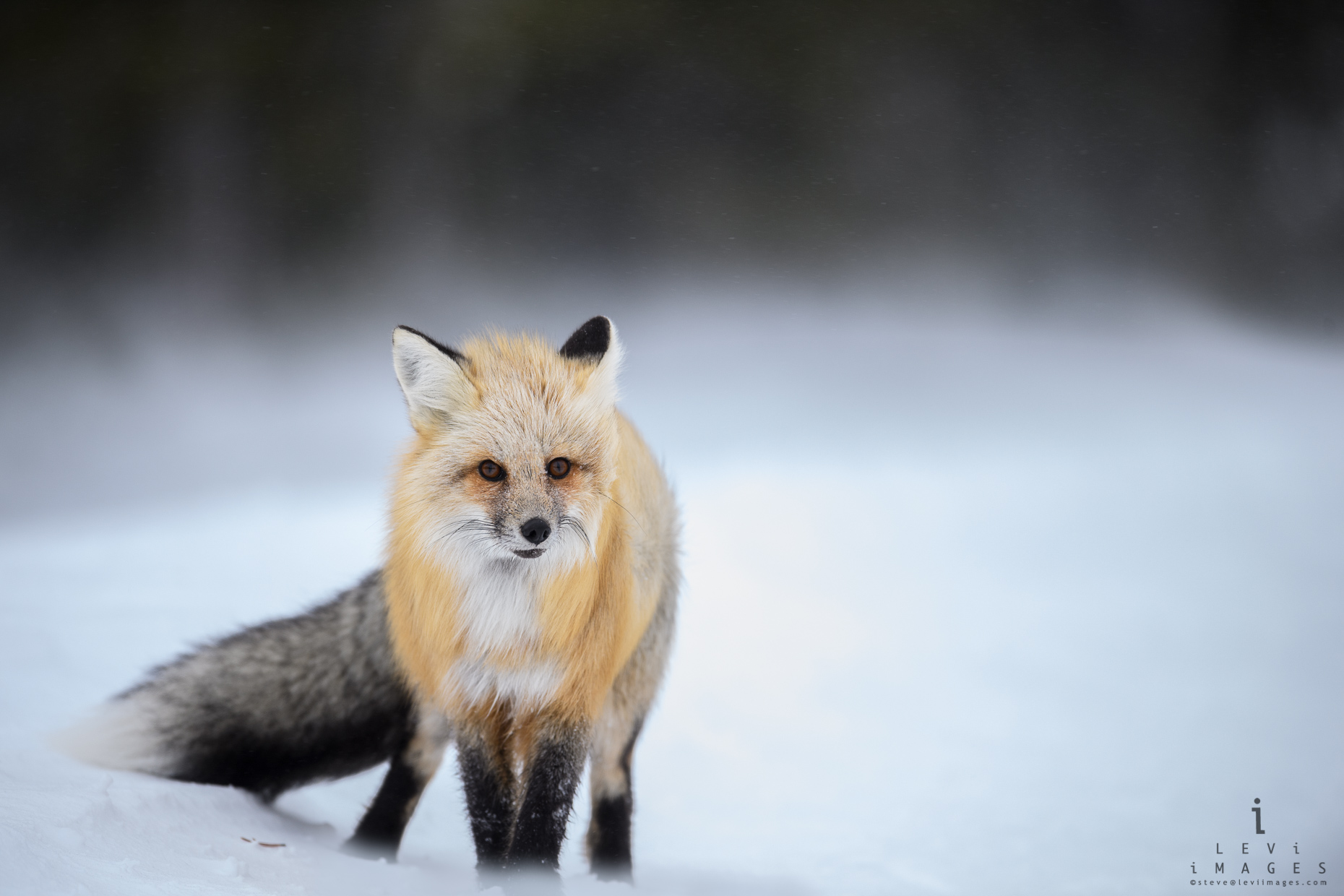 Red fox (Vulpes vulpes) pauses to listen for danger. Yellowstone National Park, Wyoming