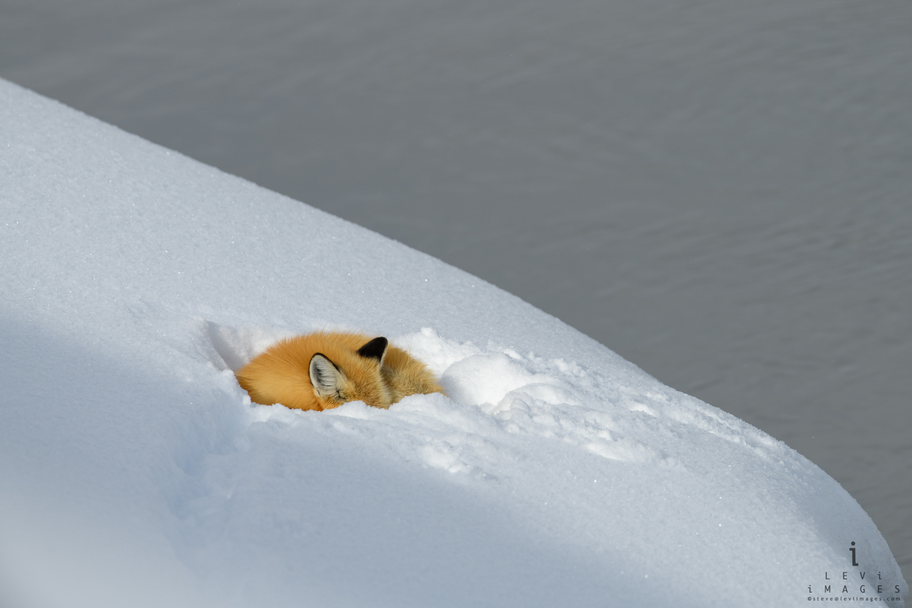 Red fox (Vulpes vulpes) sleeps in snow bank along river. Yellowstone National Park, Wyoming