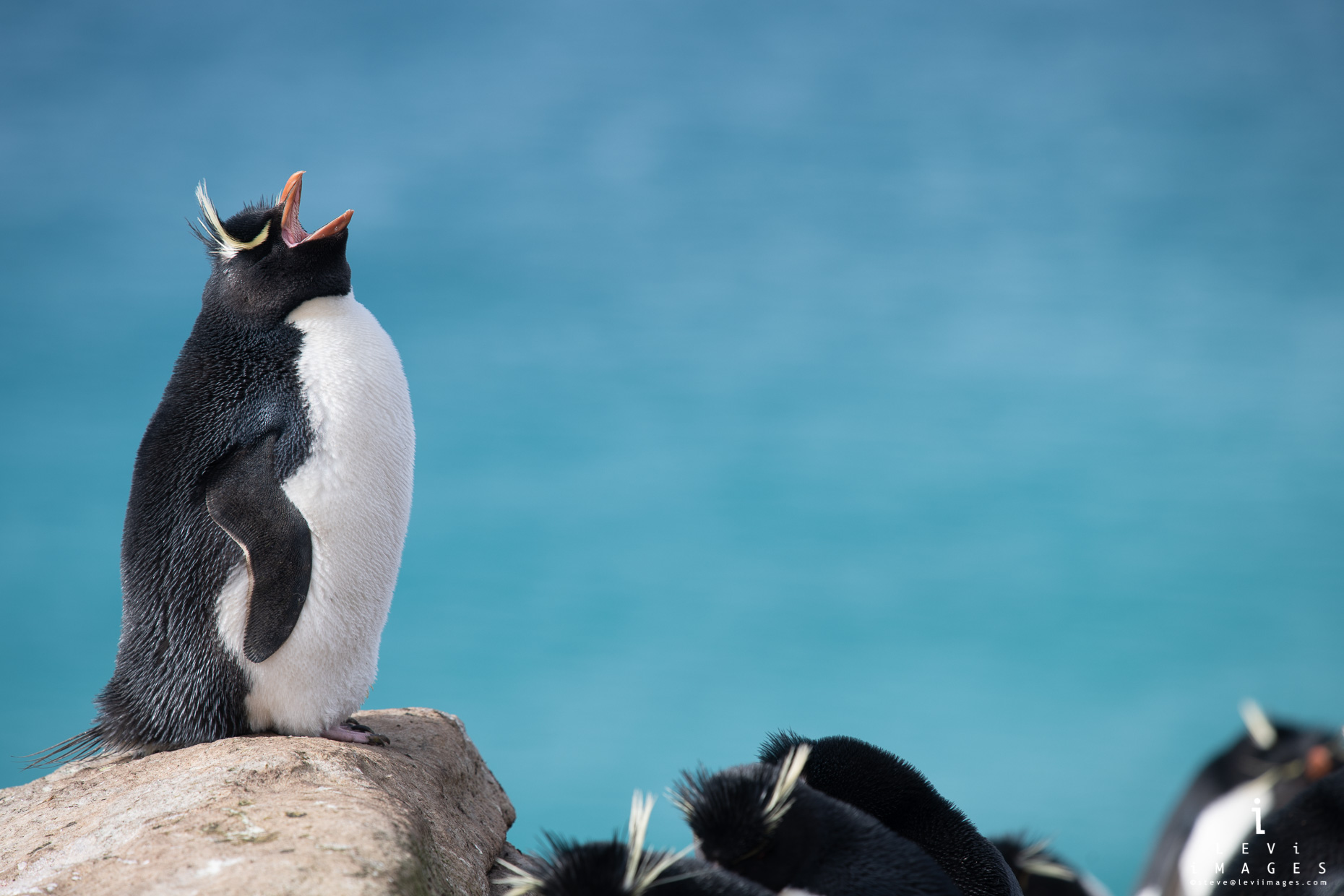 Southern Rockhopper penguin (Eudyptes chrysocome) perched on rock calls out in search of mate. Falkland Islands