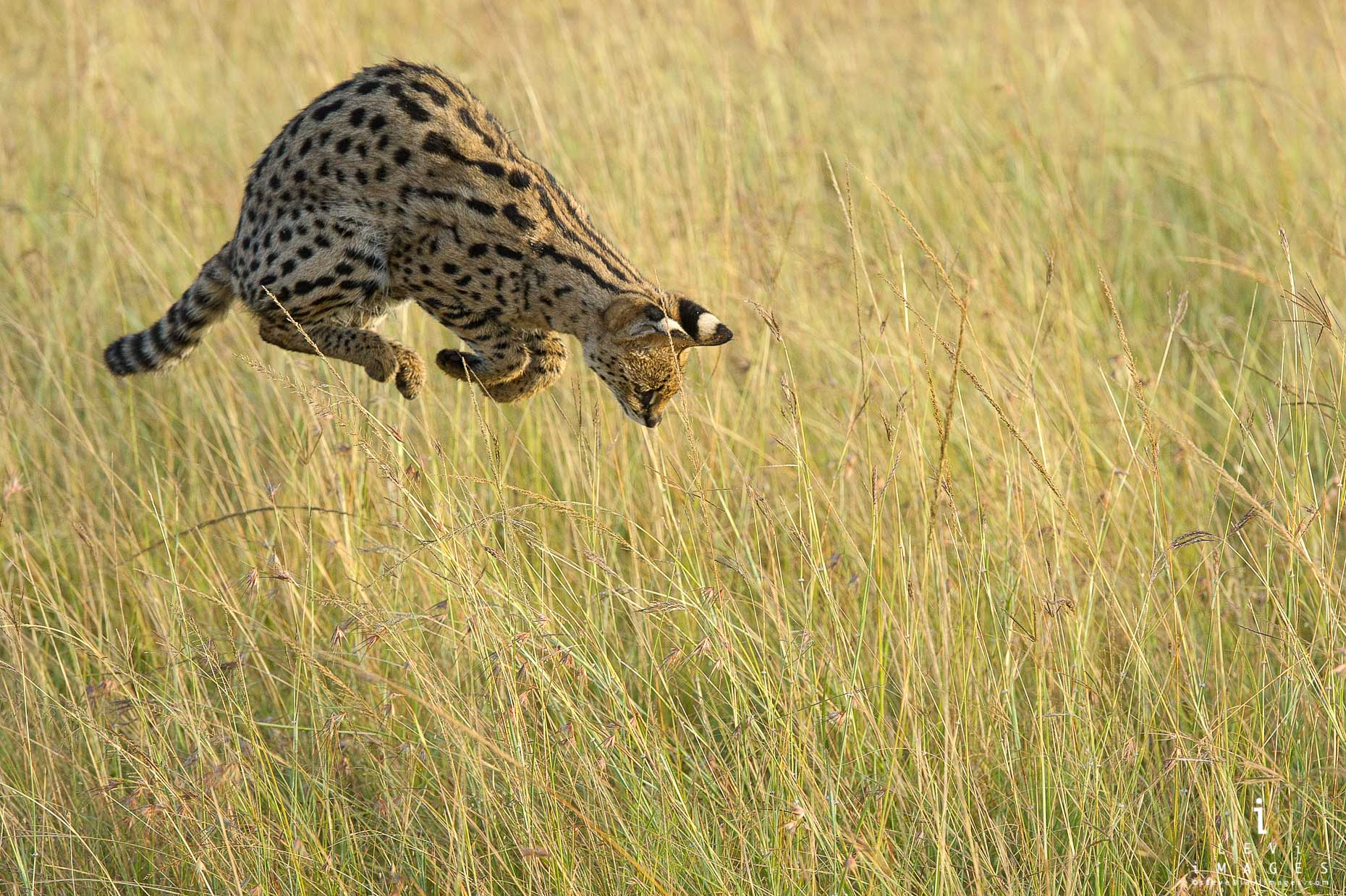 Serval (Leptailurus serval) cat pounces on prey. Maasai Mara, Africa