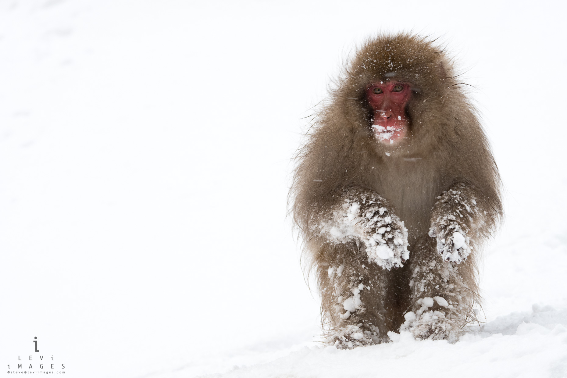 snow covered Japanese macaque (Macaca fuscata) portrait  Jigokudani, Japan.