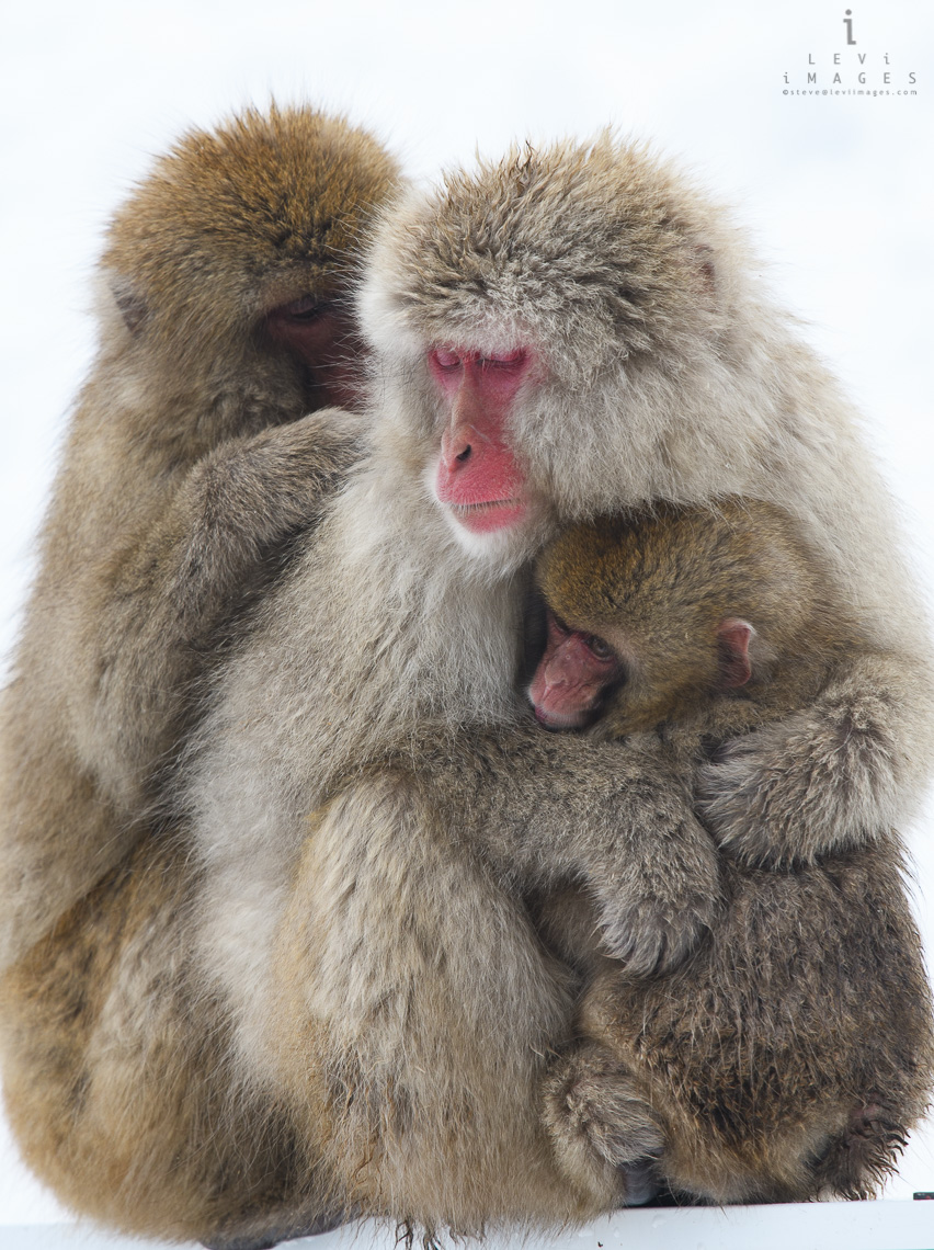 Japanese macaque (Macaca fuscata) family portrait  Jigokudani Japan