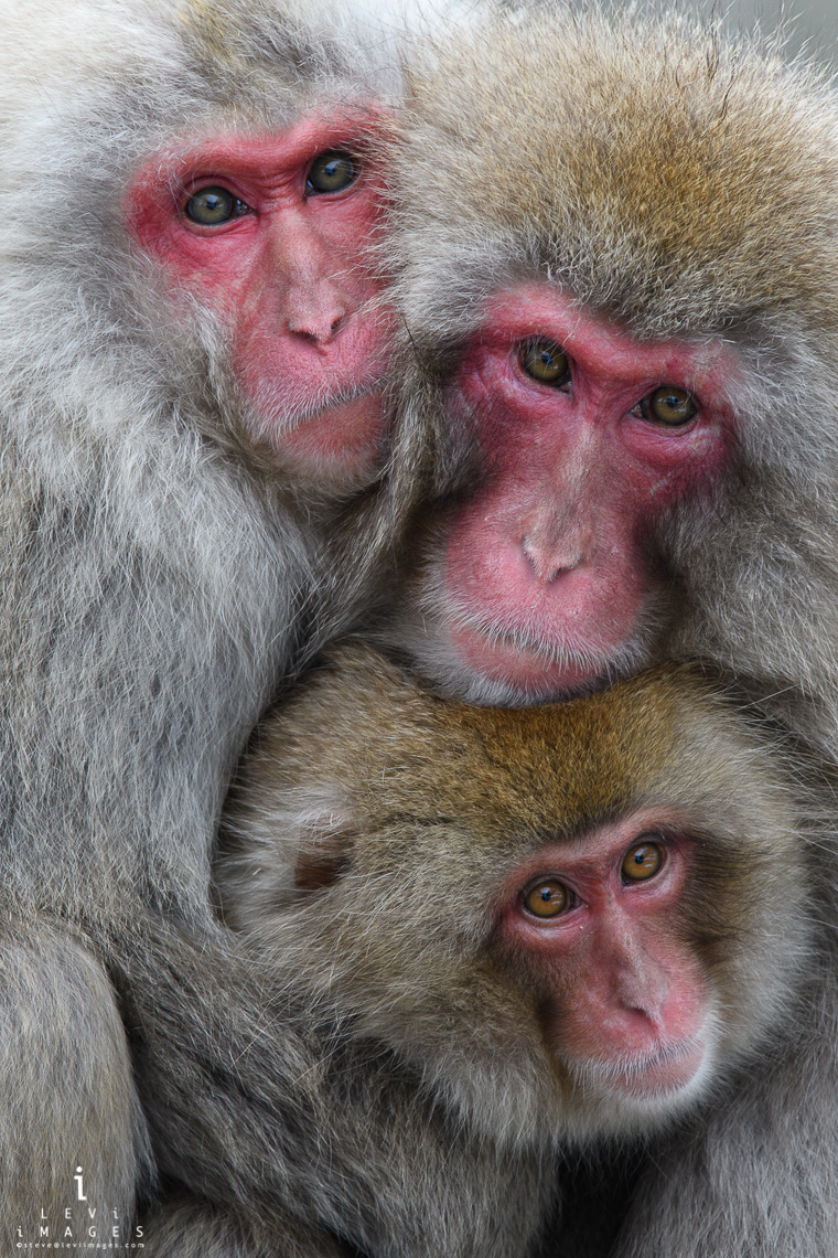 Japanese macaque (Macaca fuscata) parents and infant  portrait  Jigokudani Japan