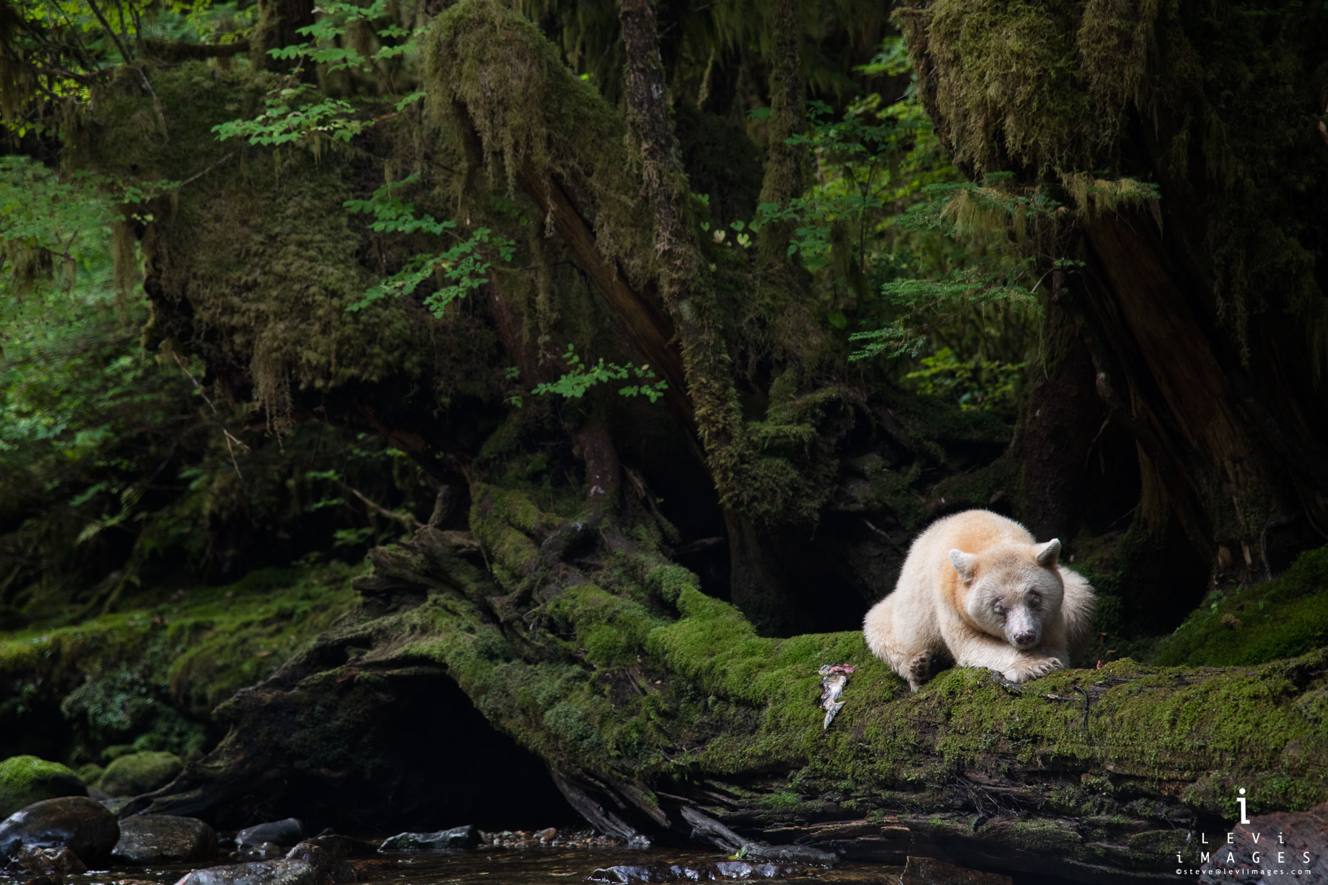 A Spirit bear lies on moss-covered log, Great Bear Rainforest, British Columbia Canada