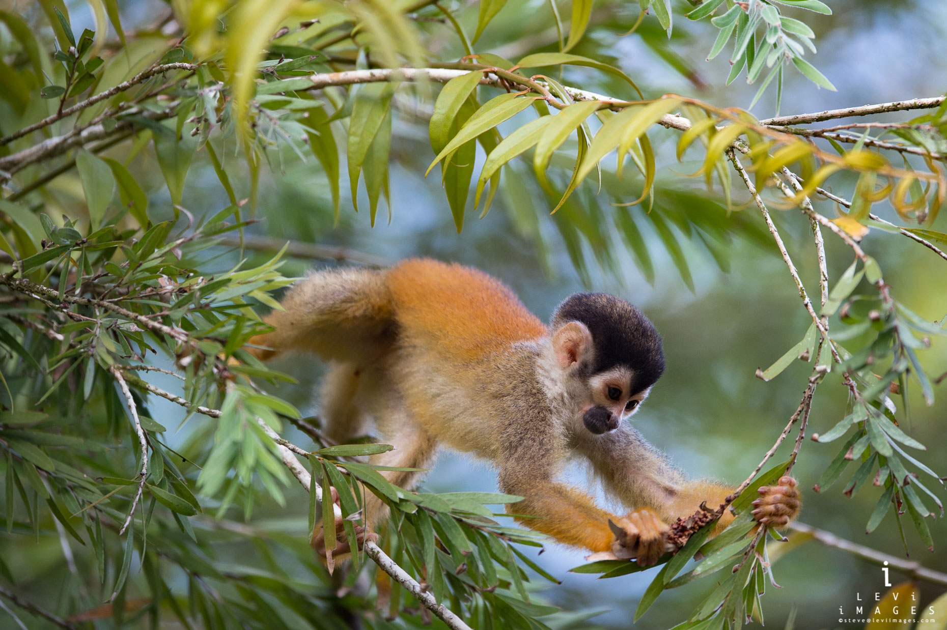Squirrel monkey (Saimiri sciureus) picking fruit from tree. Osa Peninsula, Costa Rica