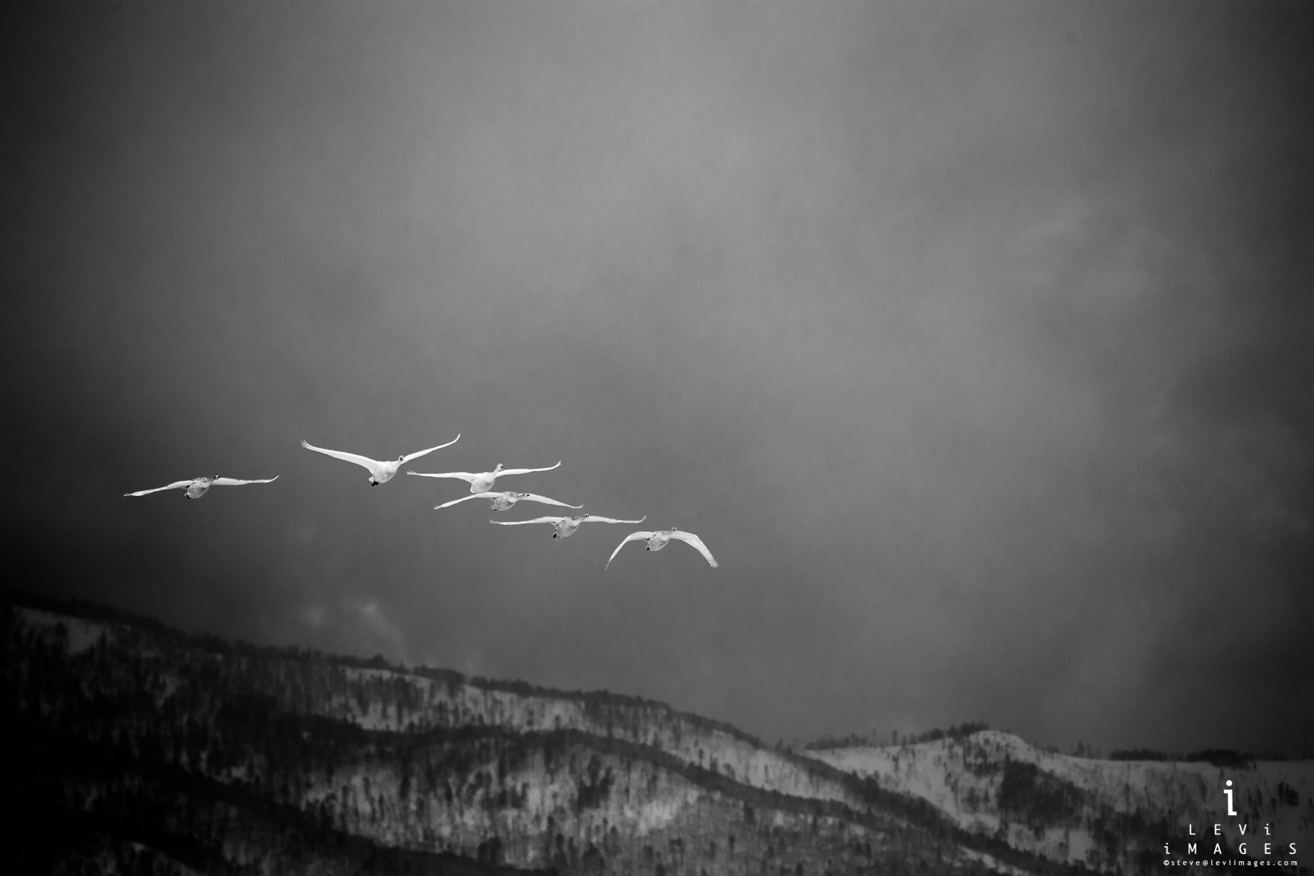 Hokkaido Whooper Swan (Cygnus cygnus) flying in front of mountains. Japan