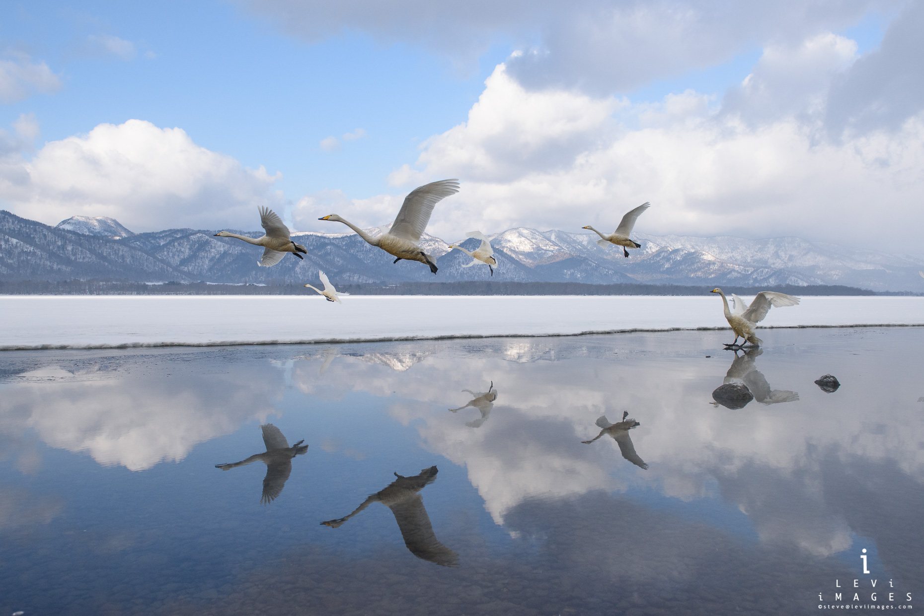 Hokkaido Whooper Swan (Cygnus cygnus) reflected  as they land. Japan