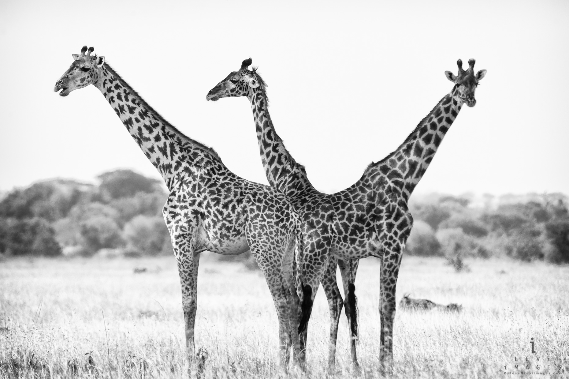 Three giraffes (Giraffa camelopardalis) in black-and-white, Africa