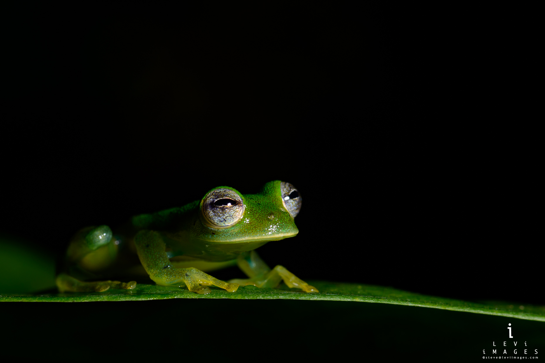 Granular glass frog (Cochranella granulosa) at night. Osa Peninsula, Costa Rica
