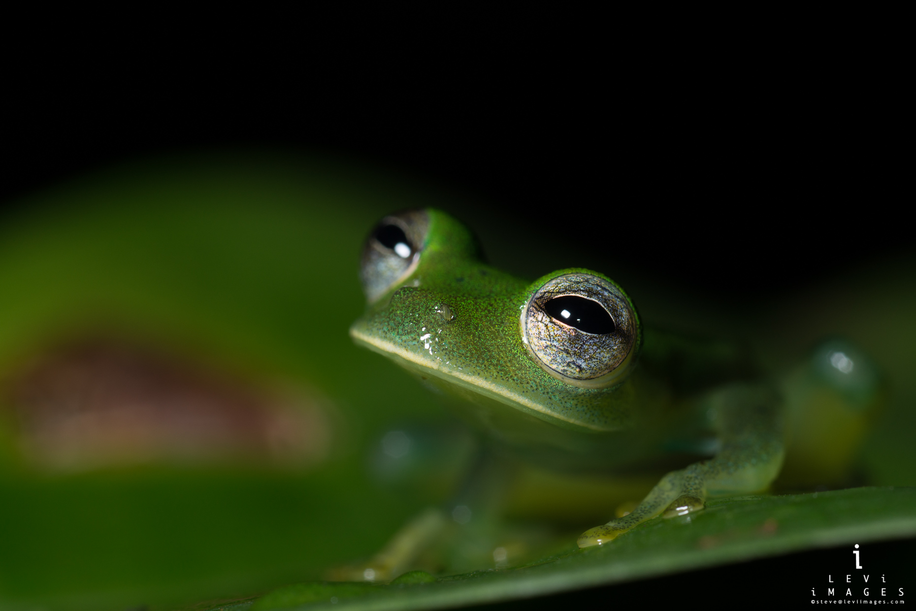 Granular glass frog (Cochranella granulosa) on leaf. Costa Rica