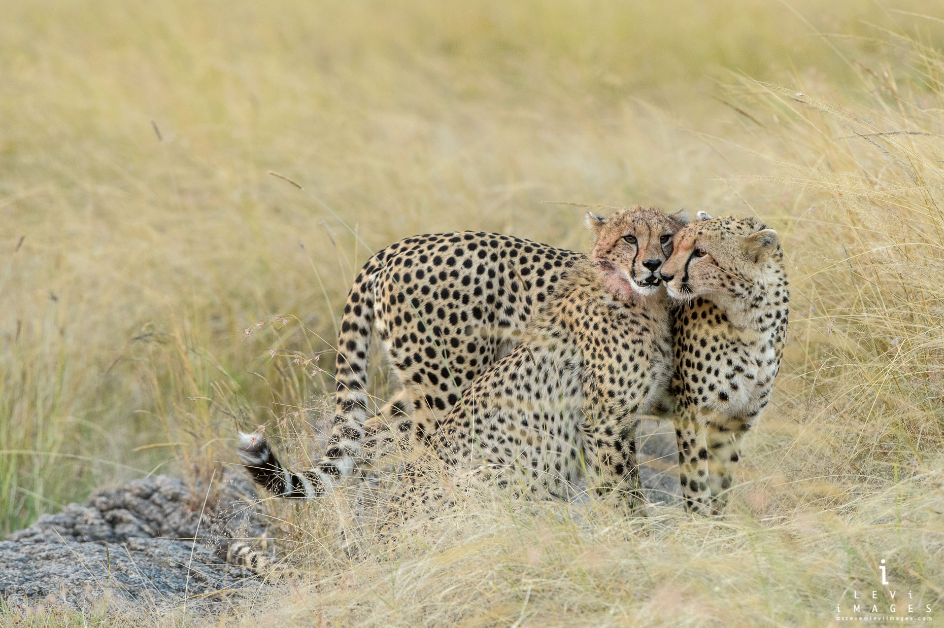Two cheetahs (Acinonyx jubatus) being affectionate. Maasai Mara, Africa