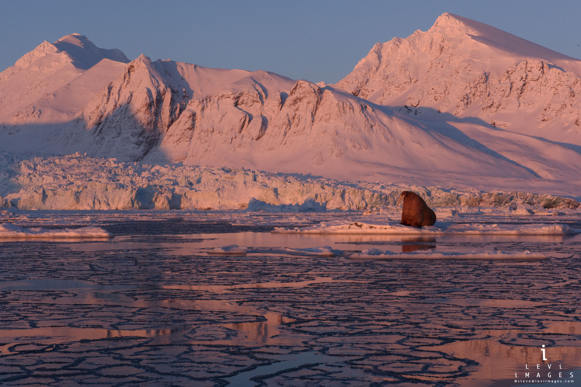 Walrus (Odobenus rosmarus) in glacial fjord at sunset Svalbard Norway