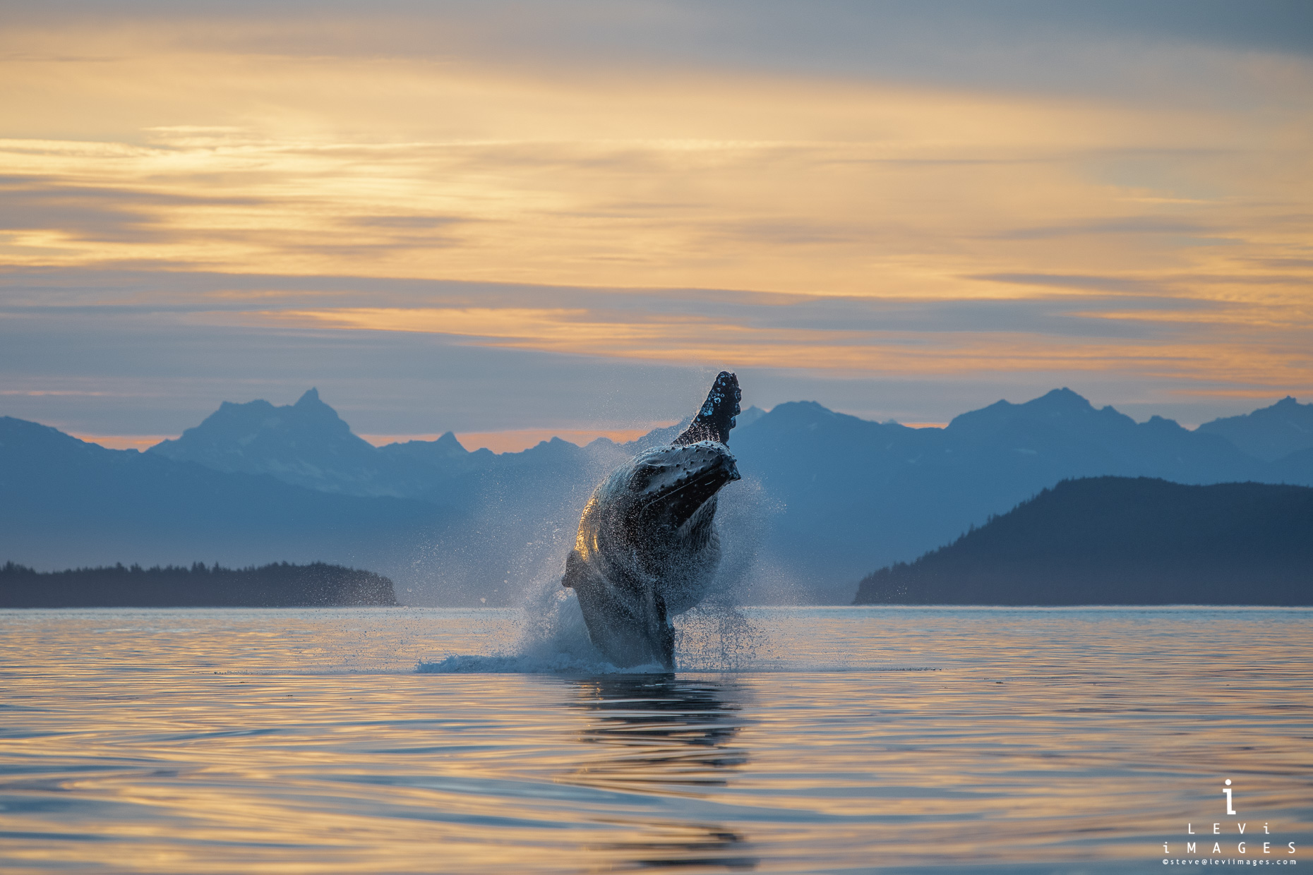 A humpback whale (Megaptera novaeangliae) breaches at sunset  with mountains framed in the background. Inside Passage, Alaska