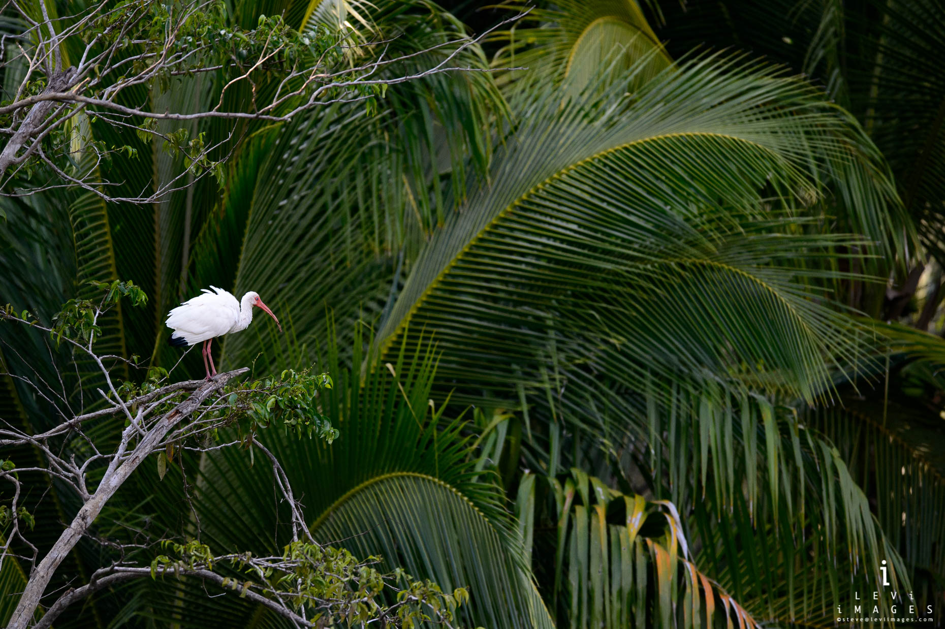 American white ibis (Eudocimus albus) is seen in its environment. Osa Peninsula, Costa Rica