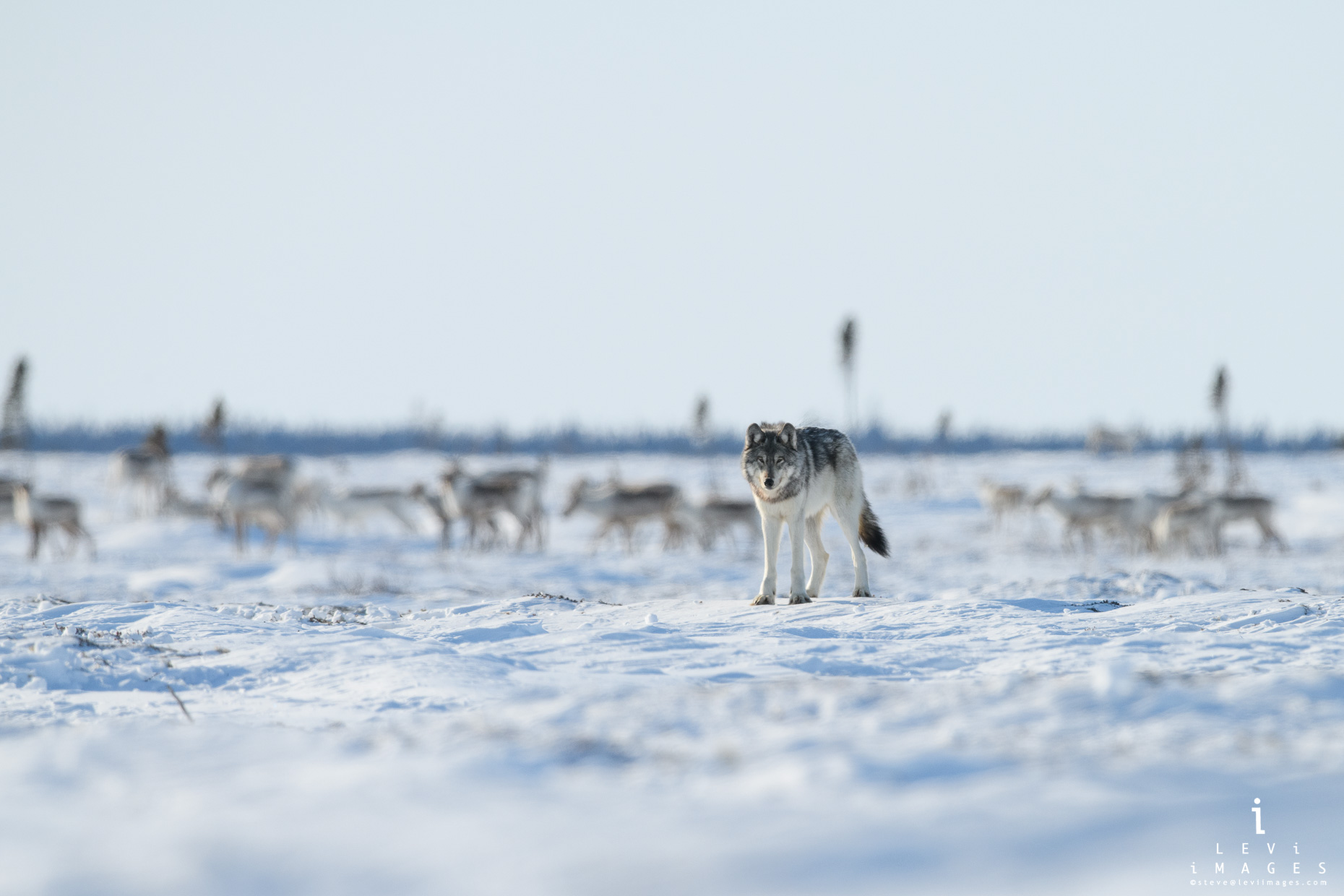 Gray Wolf (Canis lupus) with Caribou in the background. Wapusk National Park, Manitoba, Canada