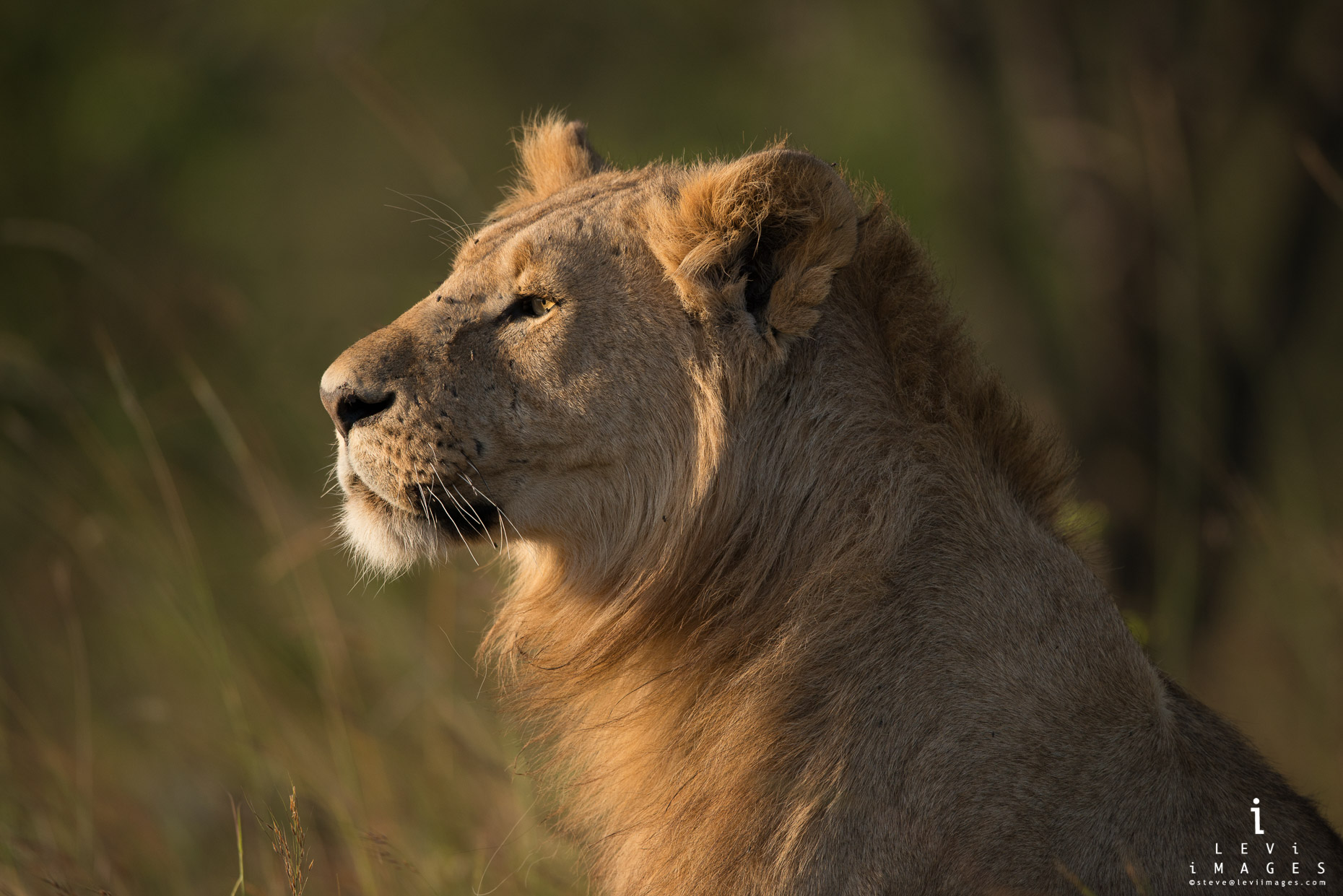 Young lion (Panthera leo) portrait in golden light. Maasai Mara, Kenya