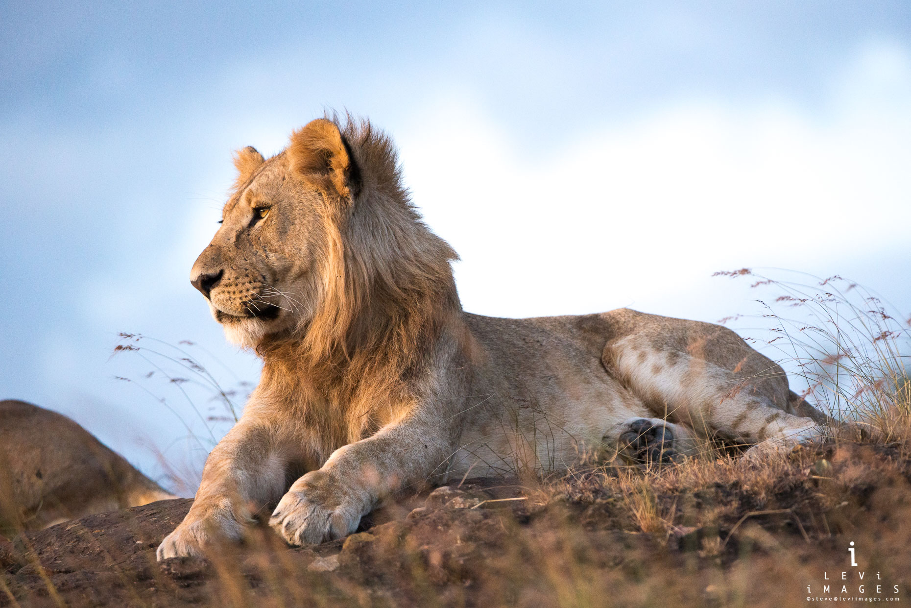 Young male lion (Panthera leo) in golden light. Maasai Mara, Kenya